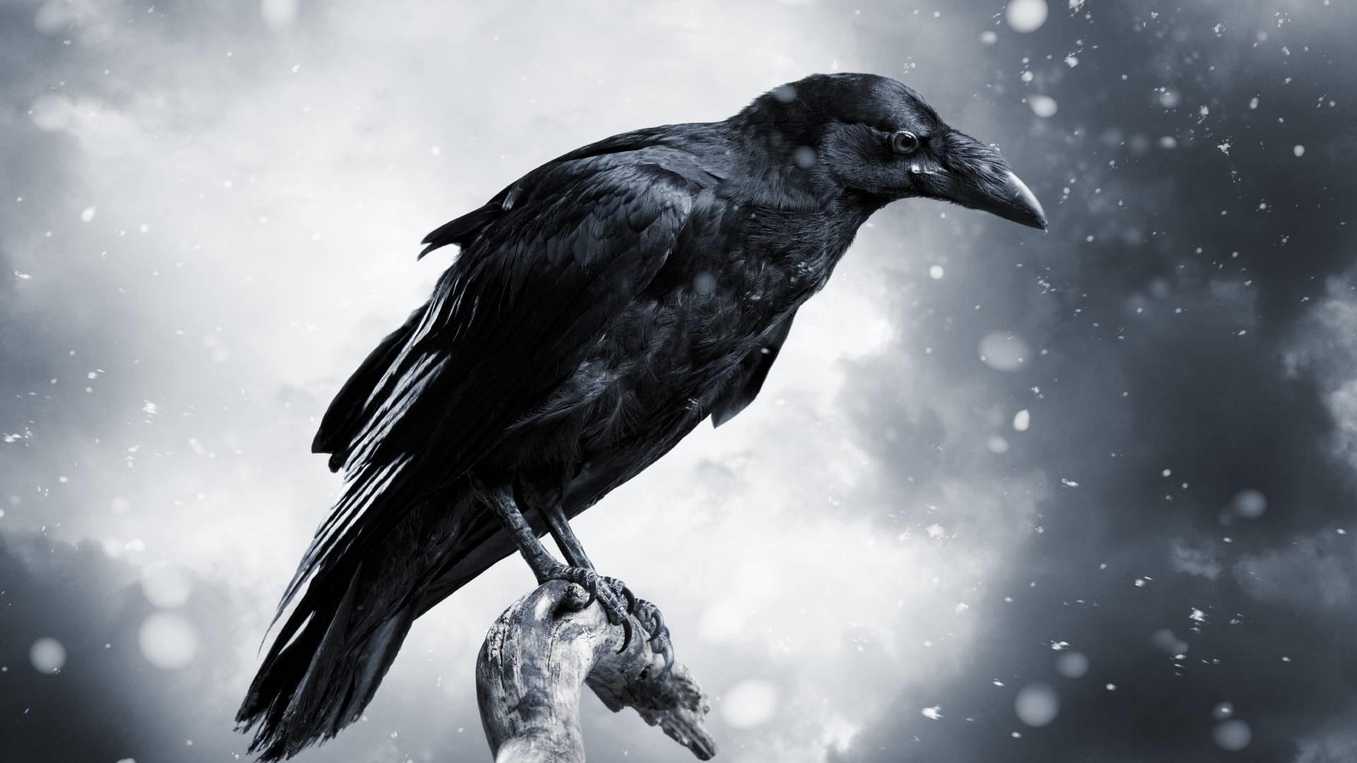 Raven hd wallpaper download