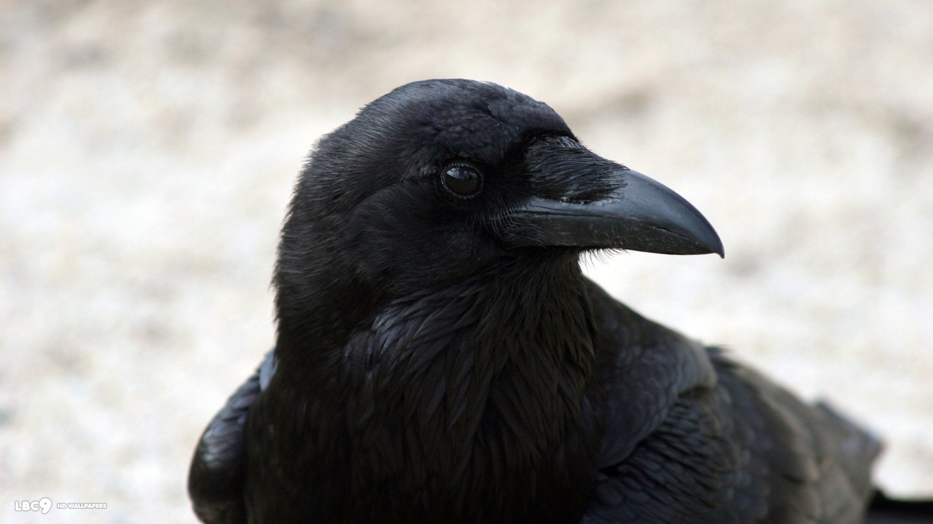 Raven Full HD Wallpaper