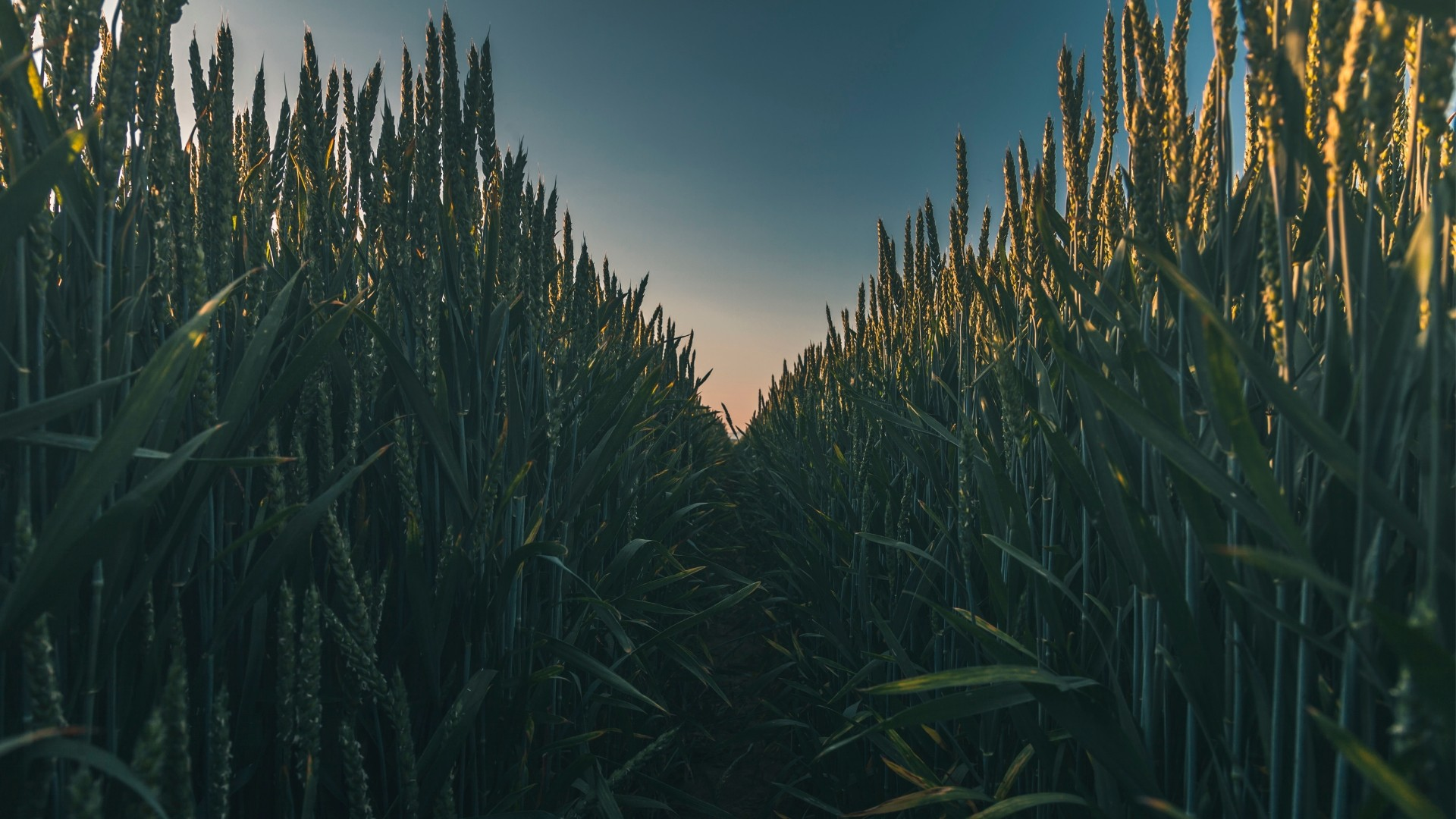 Cornfield Download Wallpaper