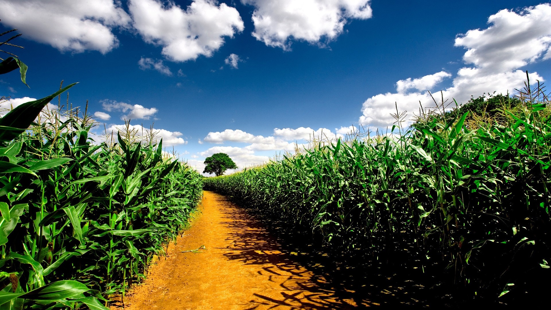 Cornfield Background