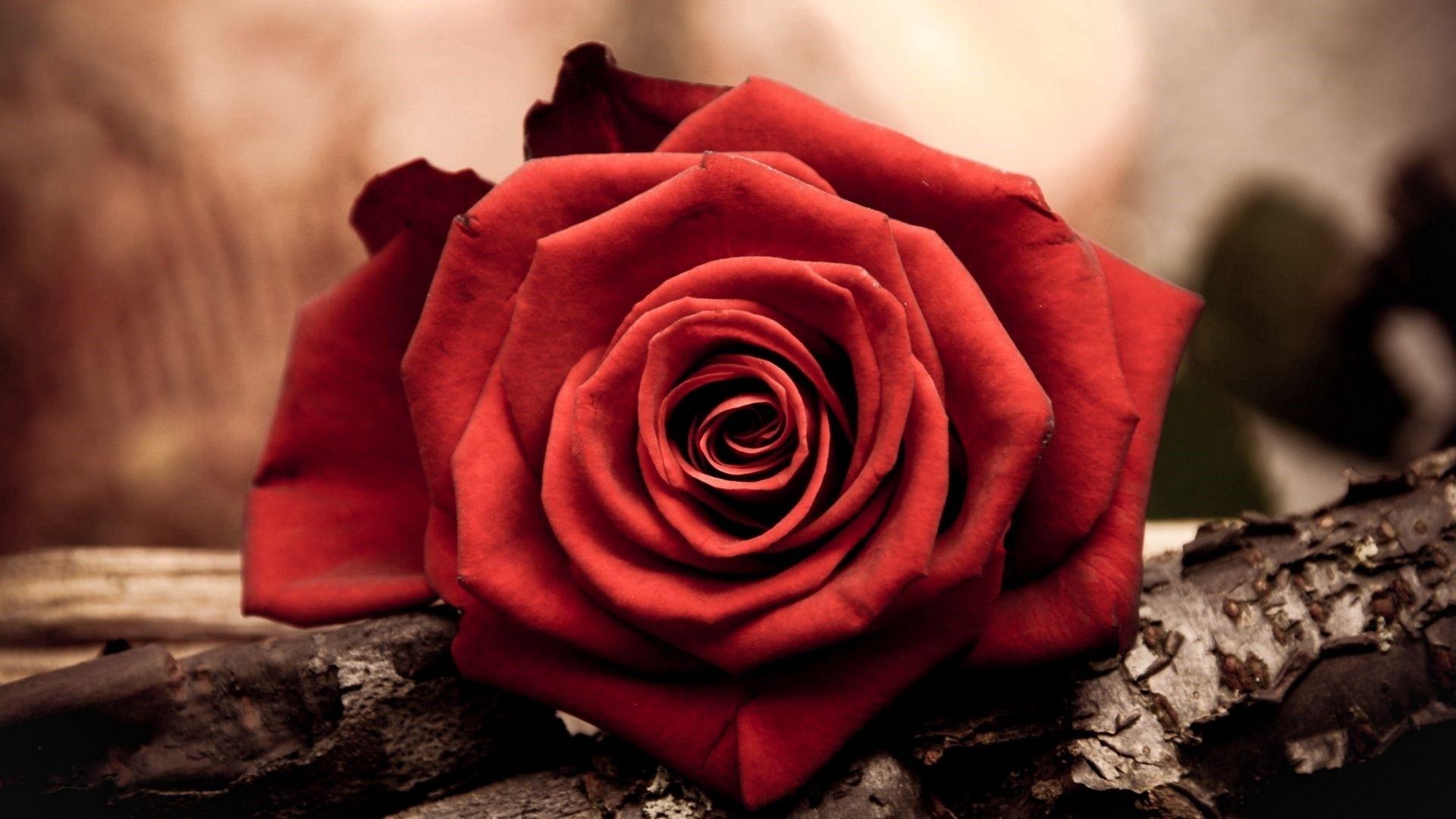 Dead Rose Pic