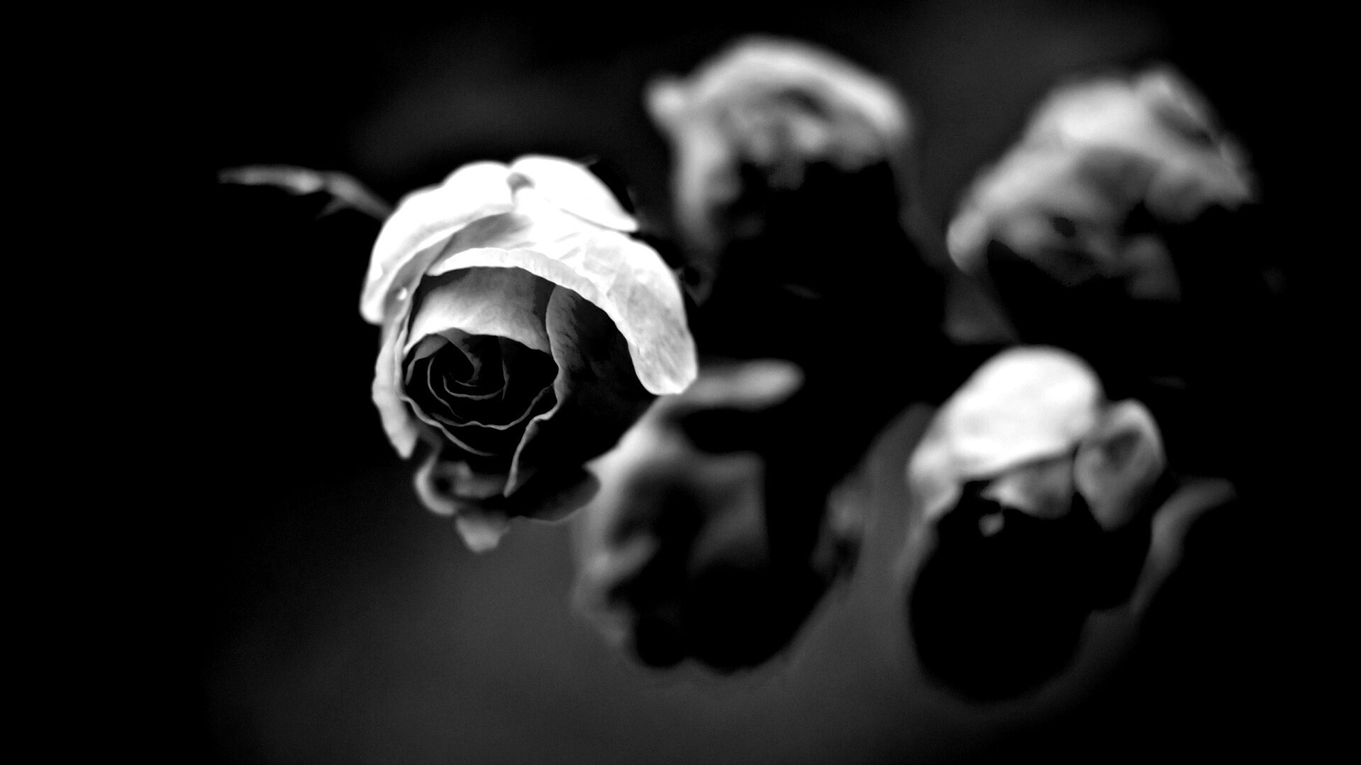 Dead Rose Free Wallpaper and Background