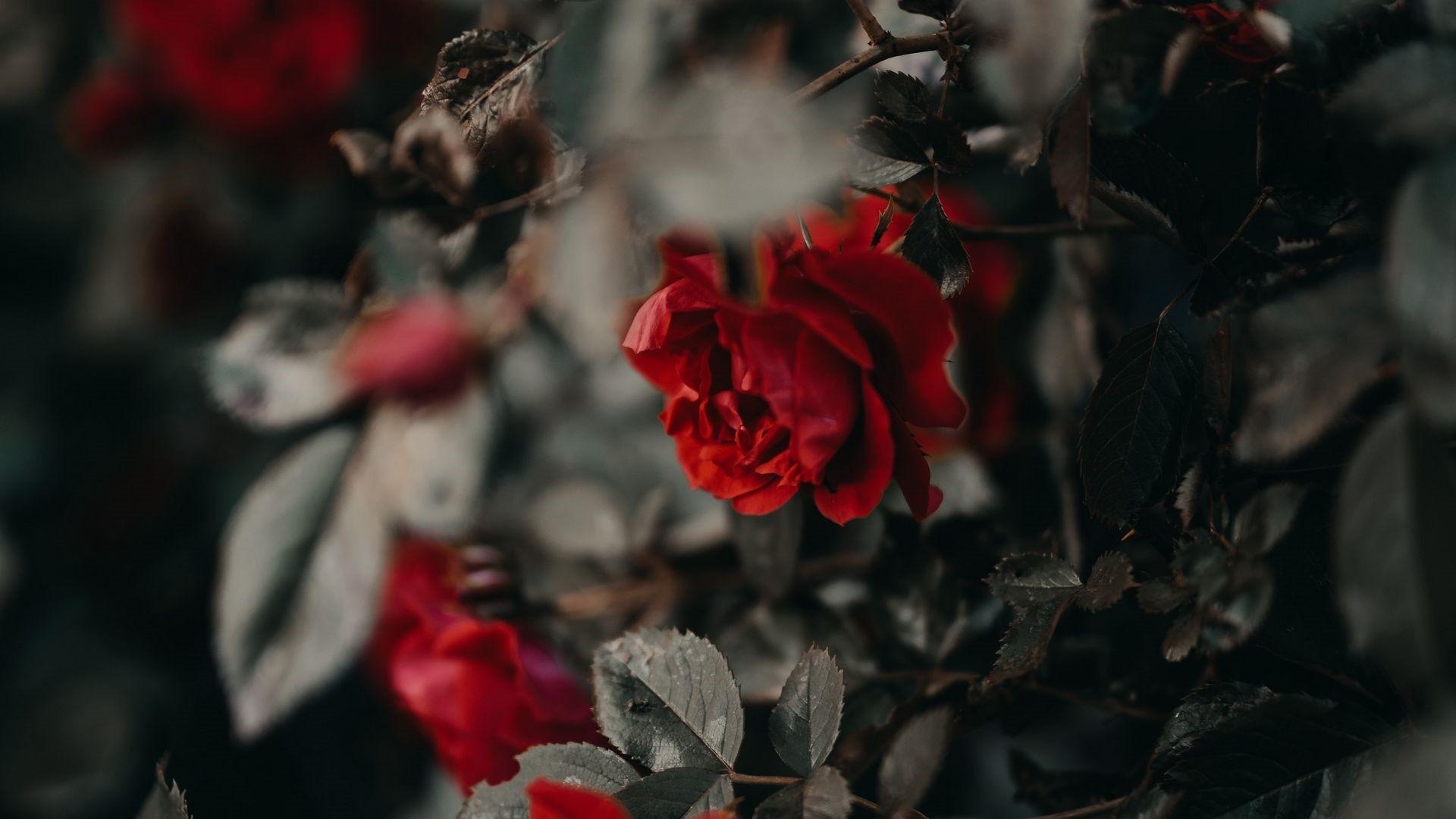 Dead Rose Free Wallpaper
