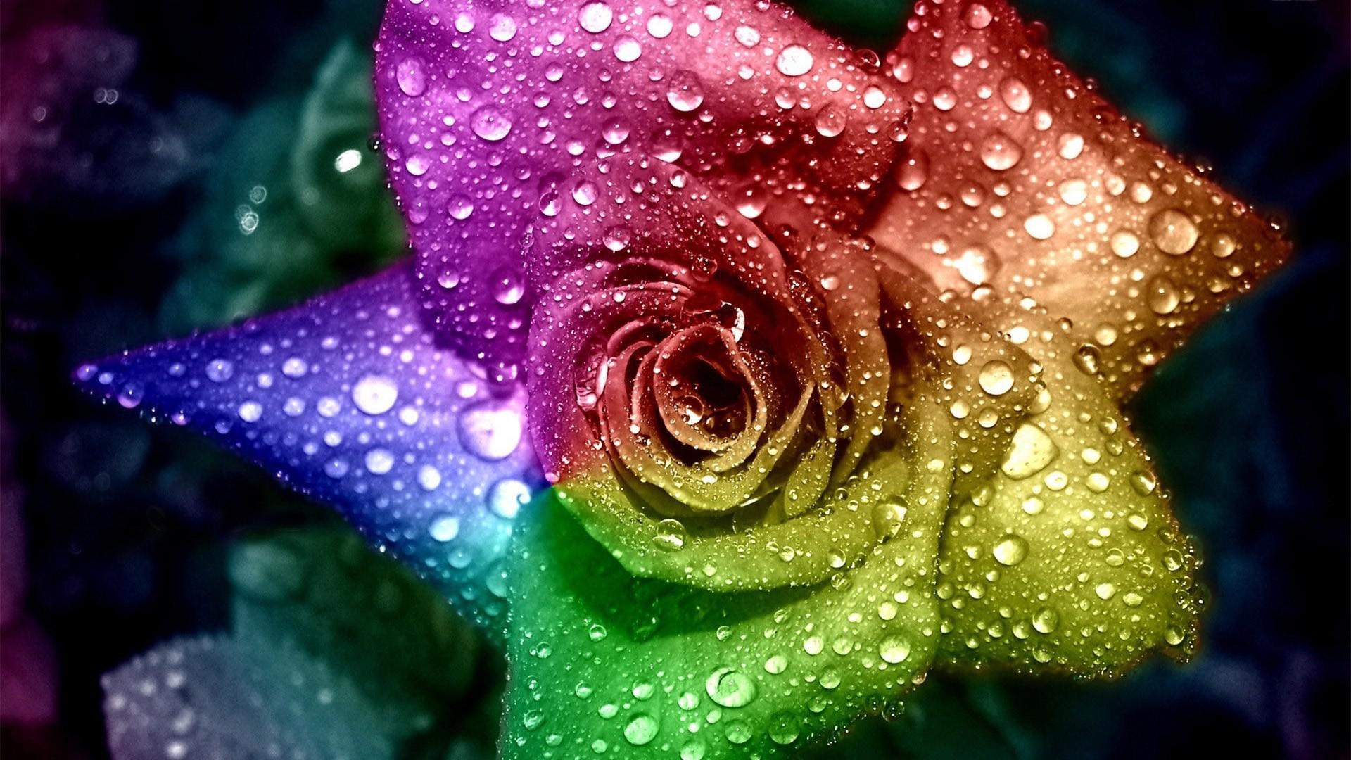 Rainbow Rose hd desktop wallpaper