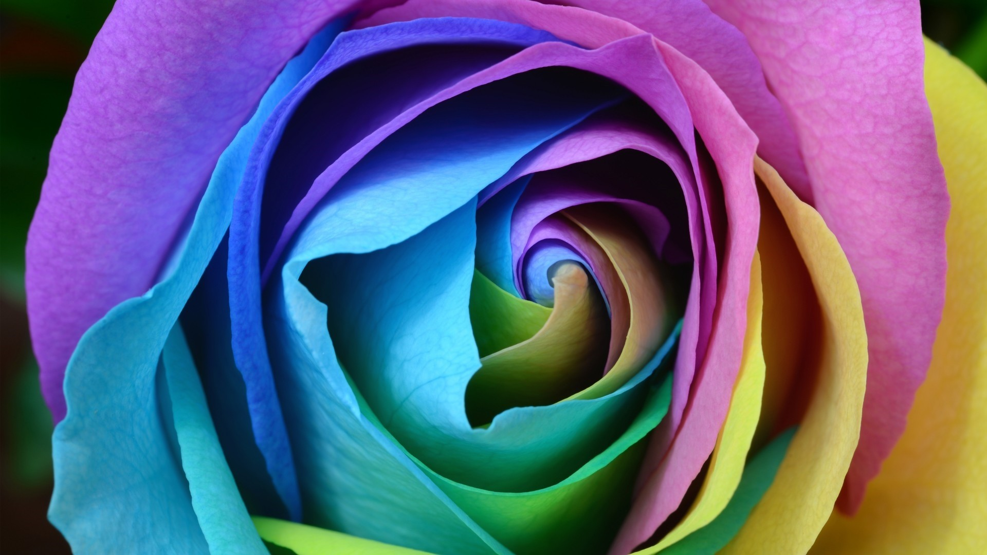 Rainbow Rose Wallpaper Picture hd