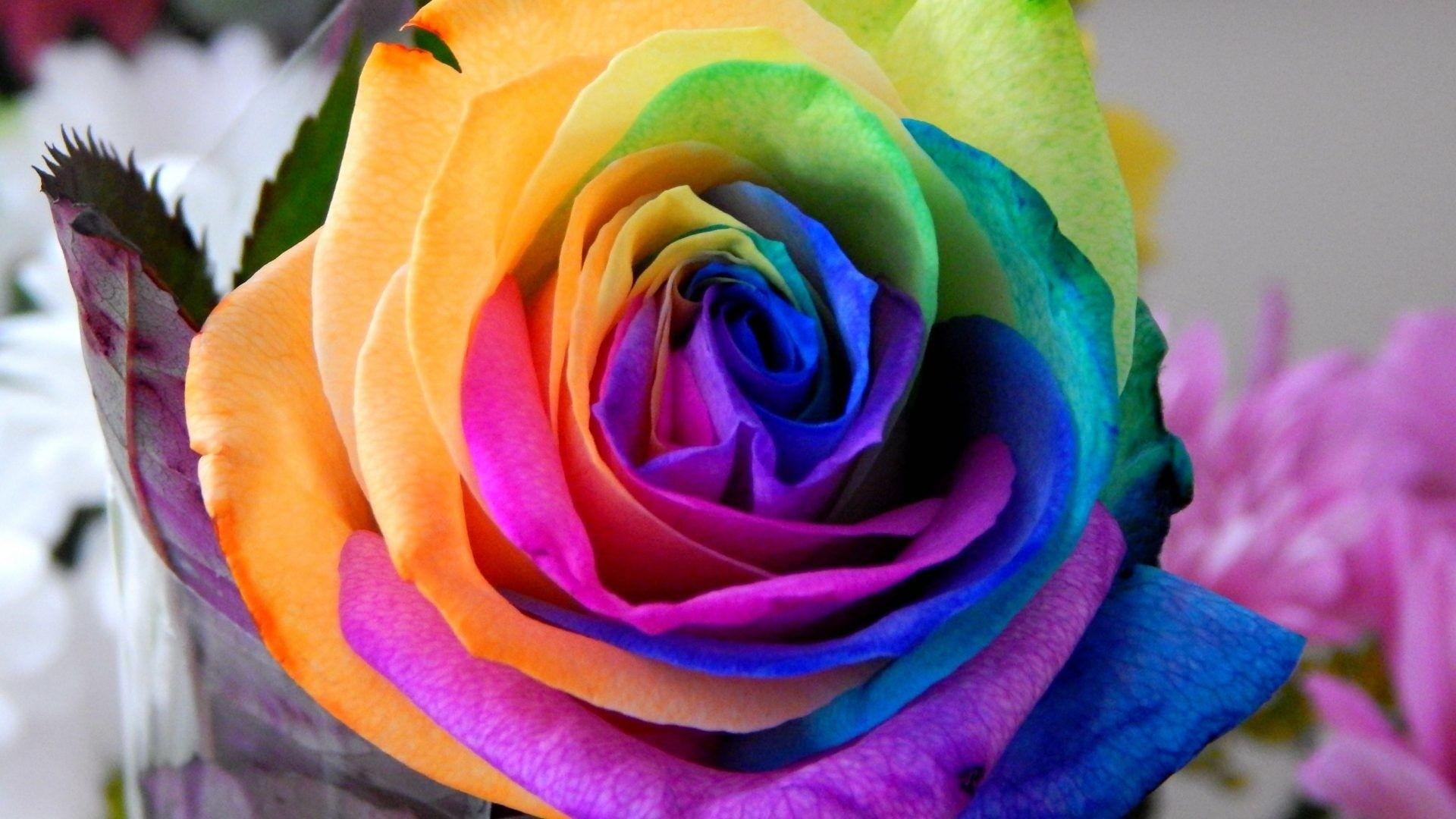 Rainbow Rose Download Wallpaper