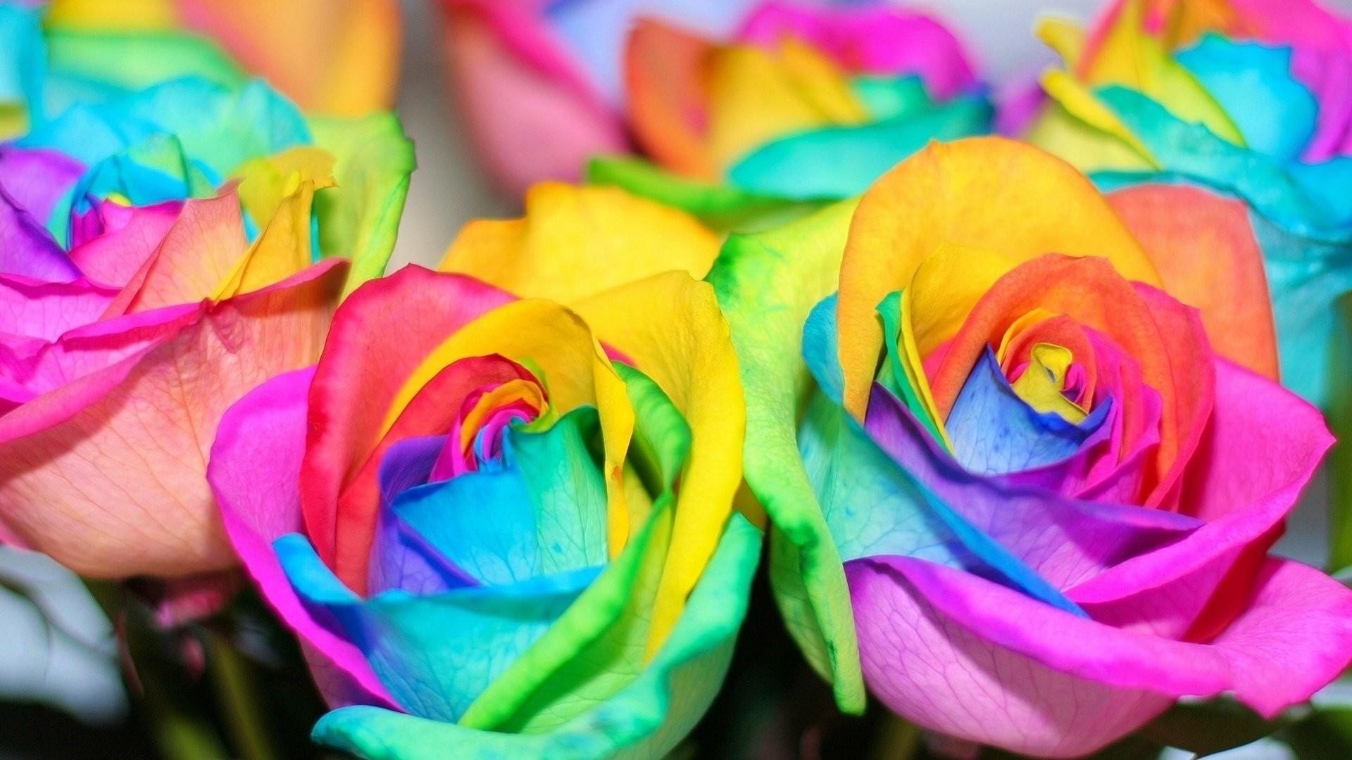 Rainbow Rose HD Download