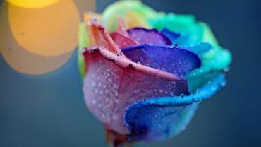 Rainbow Rose Wallpaper for pc