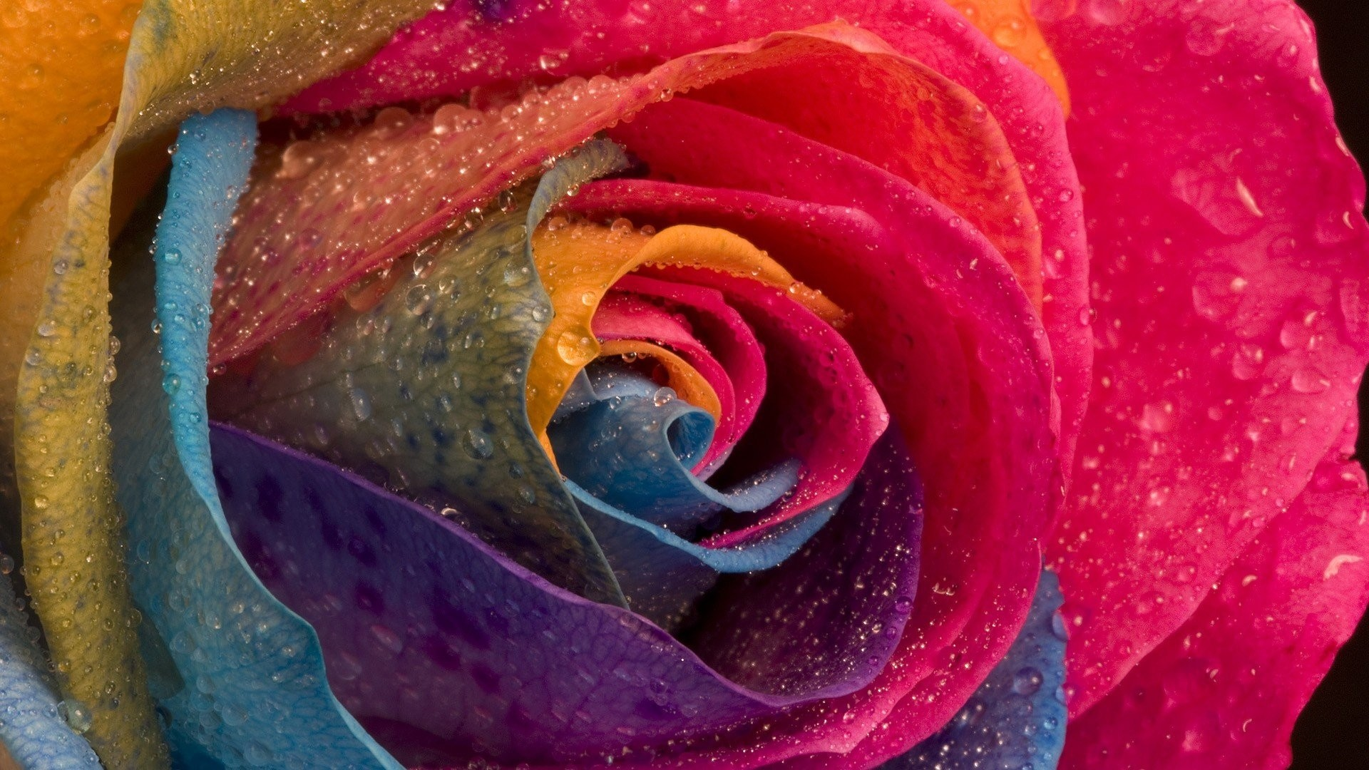Rainbow Rose PC Wallpaper HD