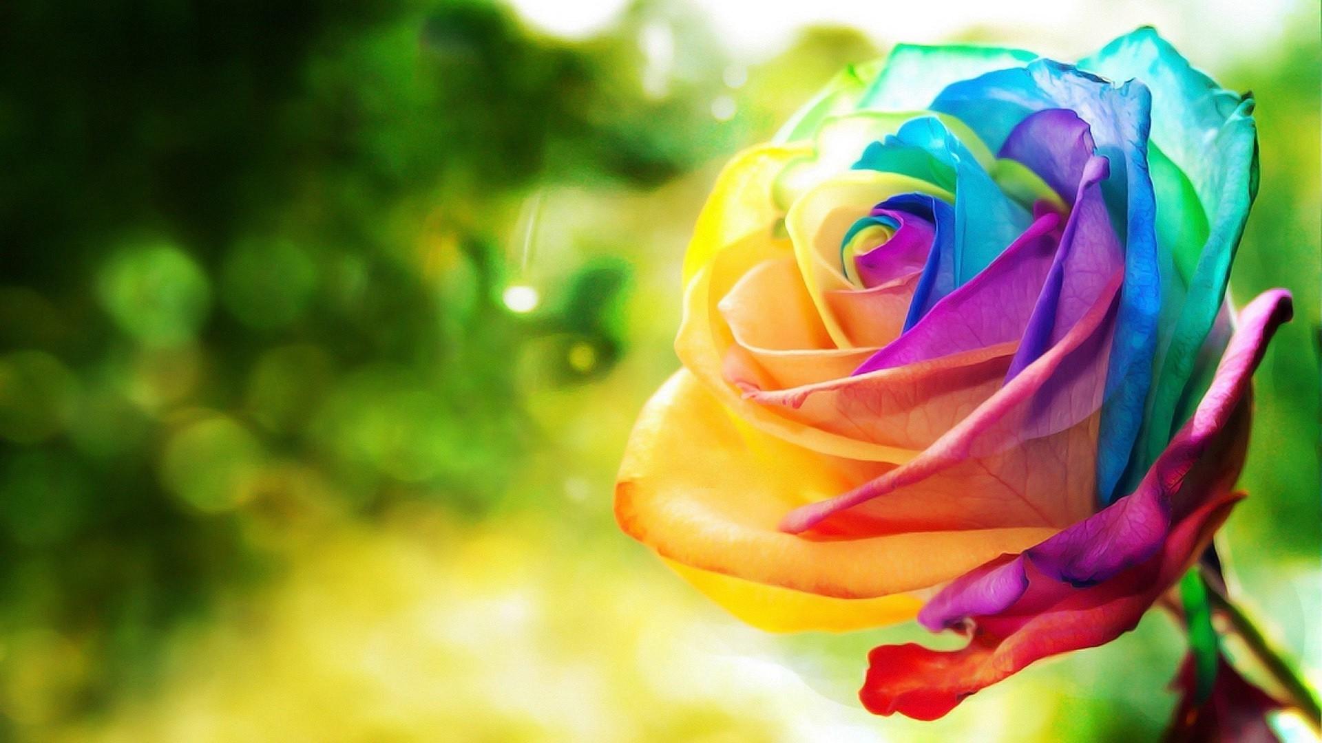 Rainbow Rose PC Wallpaper