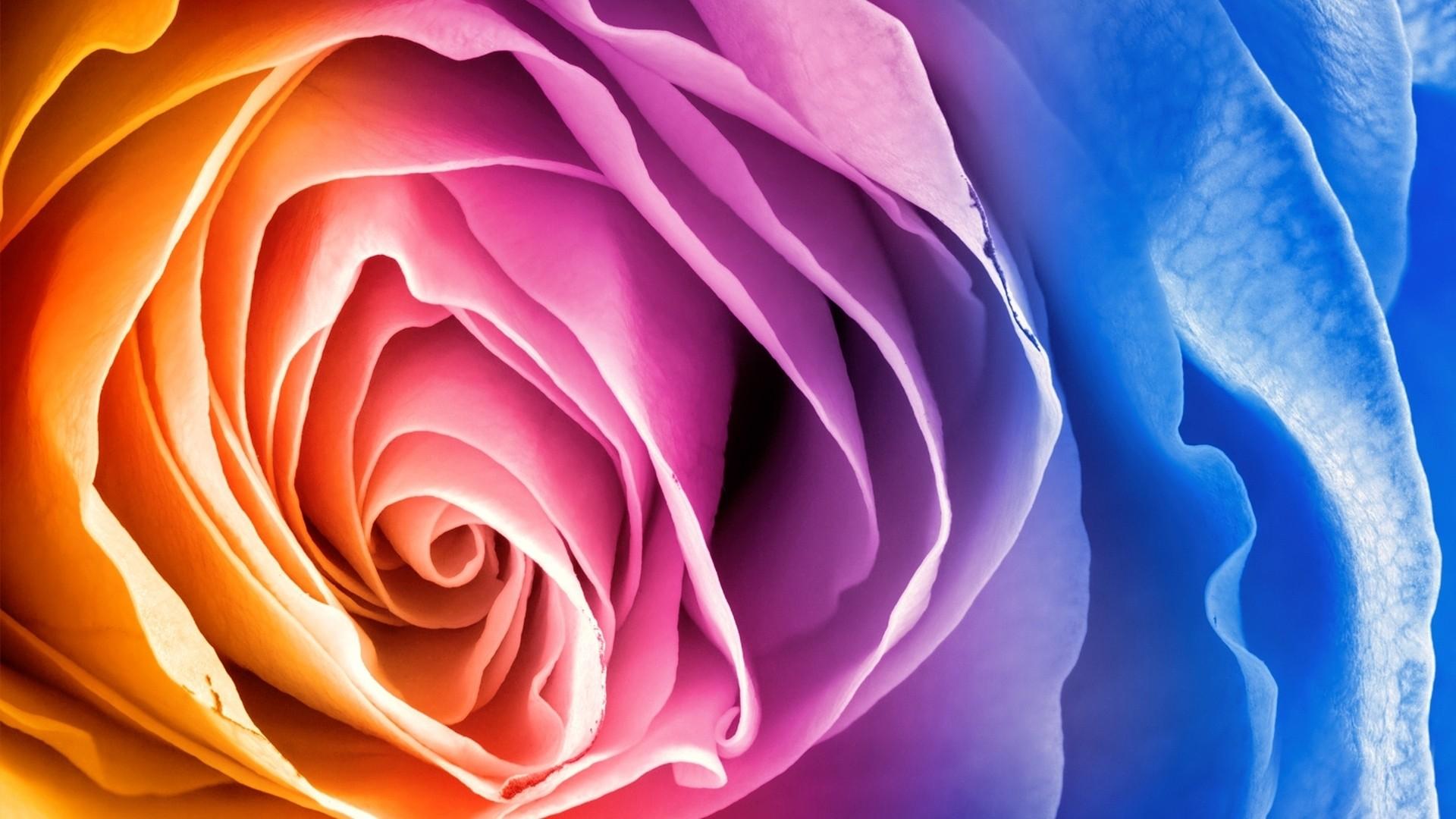 Rainbow Rose Desktop Wallpaper