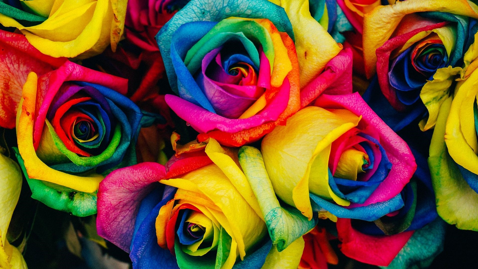 Rainbow Rose hd wallpaper download