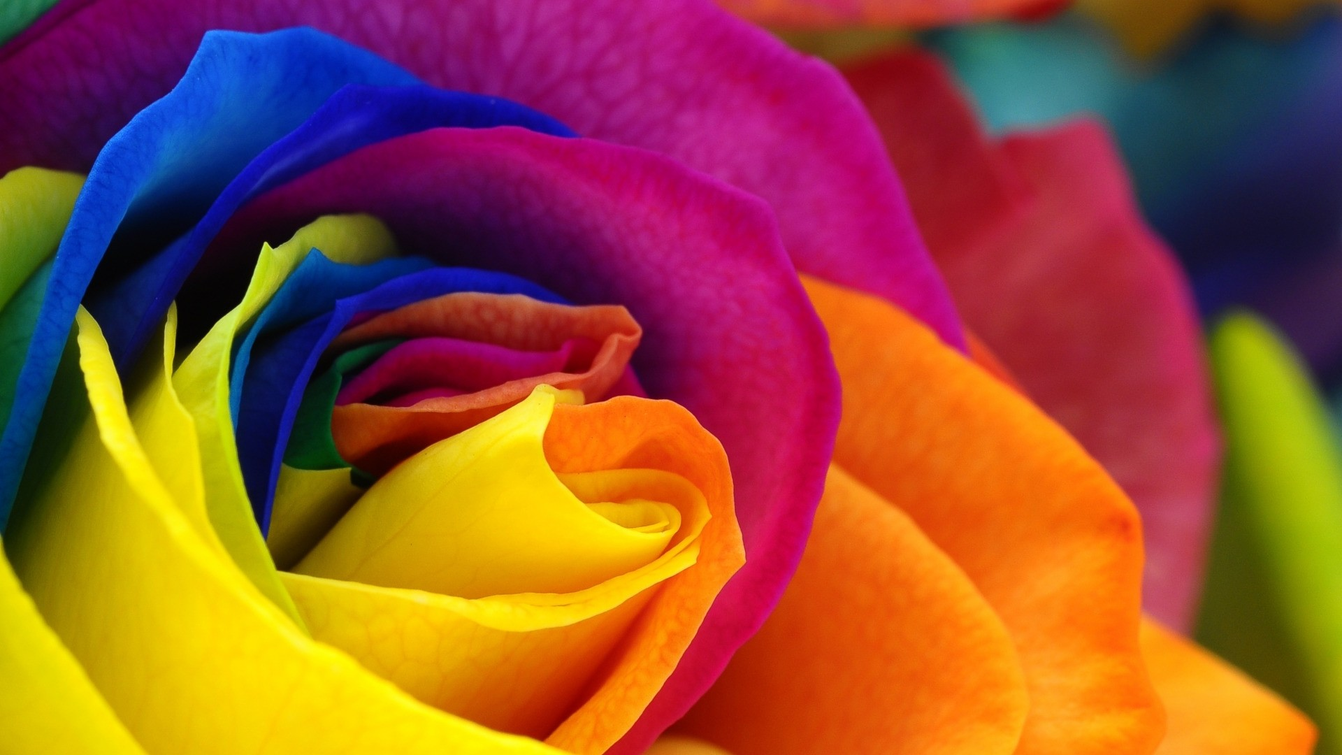 Rainbow Rose Picture