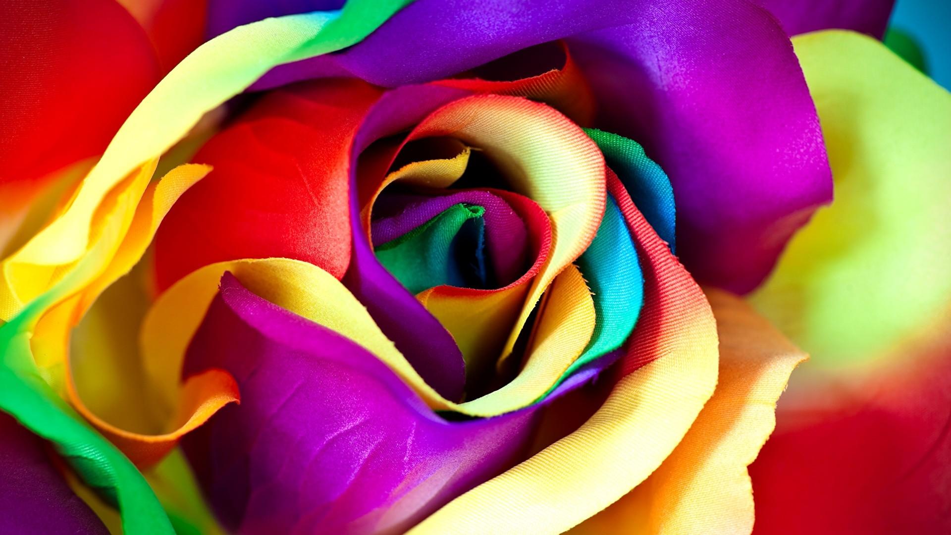 Rainbow Rose HD Wallpaper