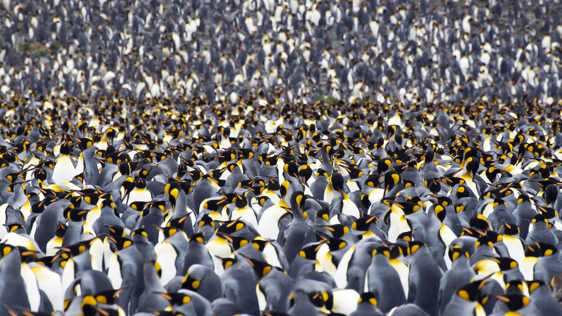Penguin hd desktop wallpaper