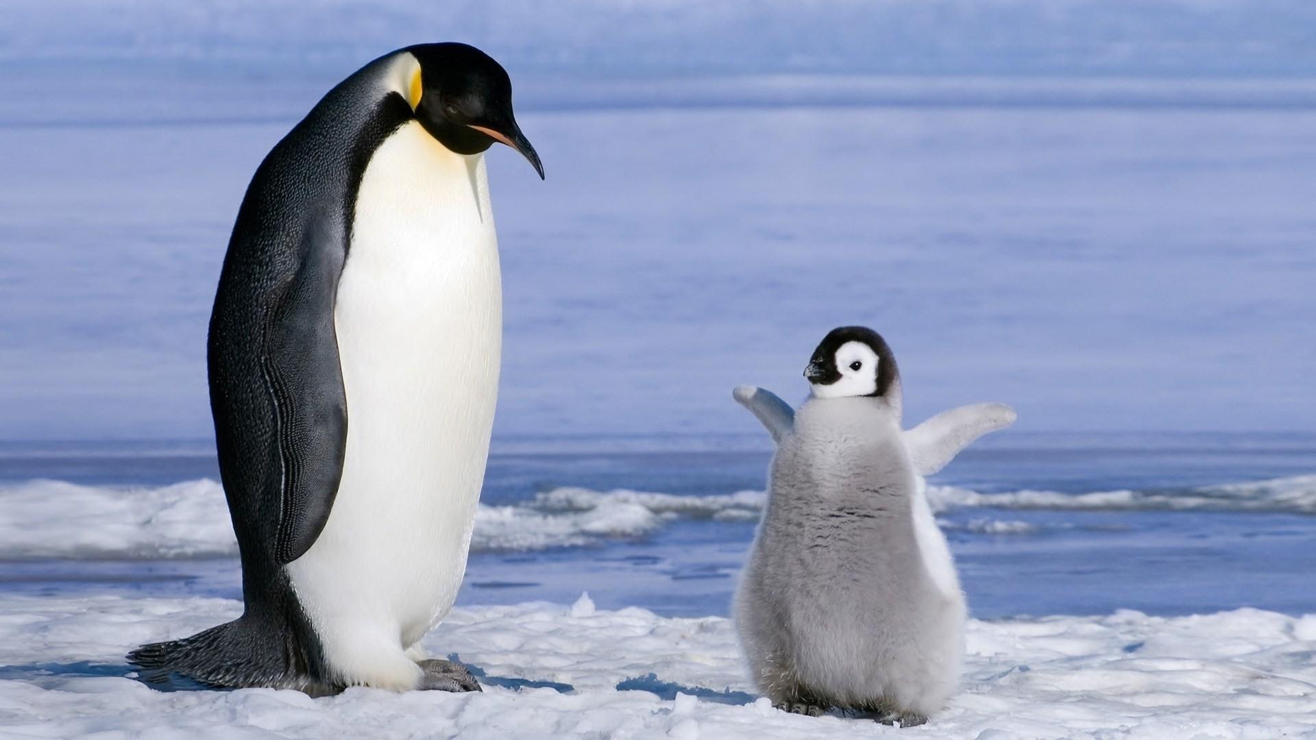 Penguin HD Download