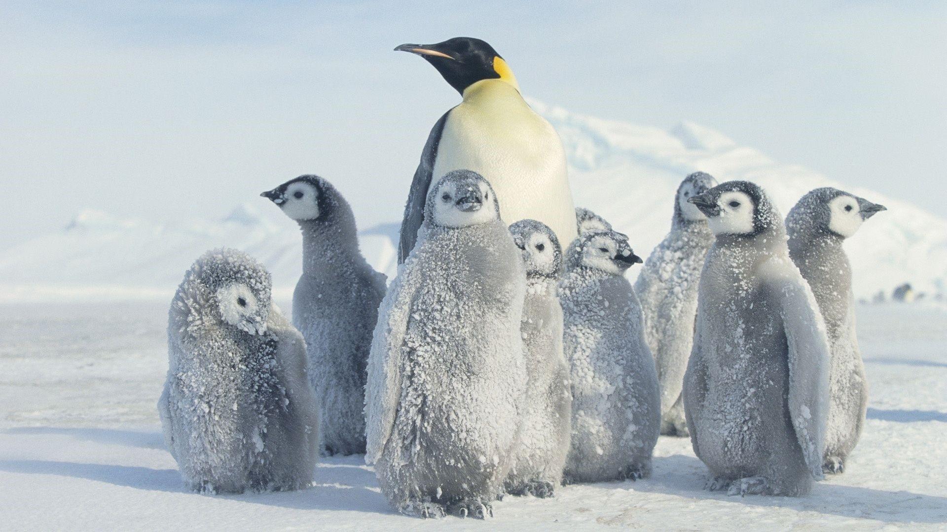 Penguin HD Wallpaper