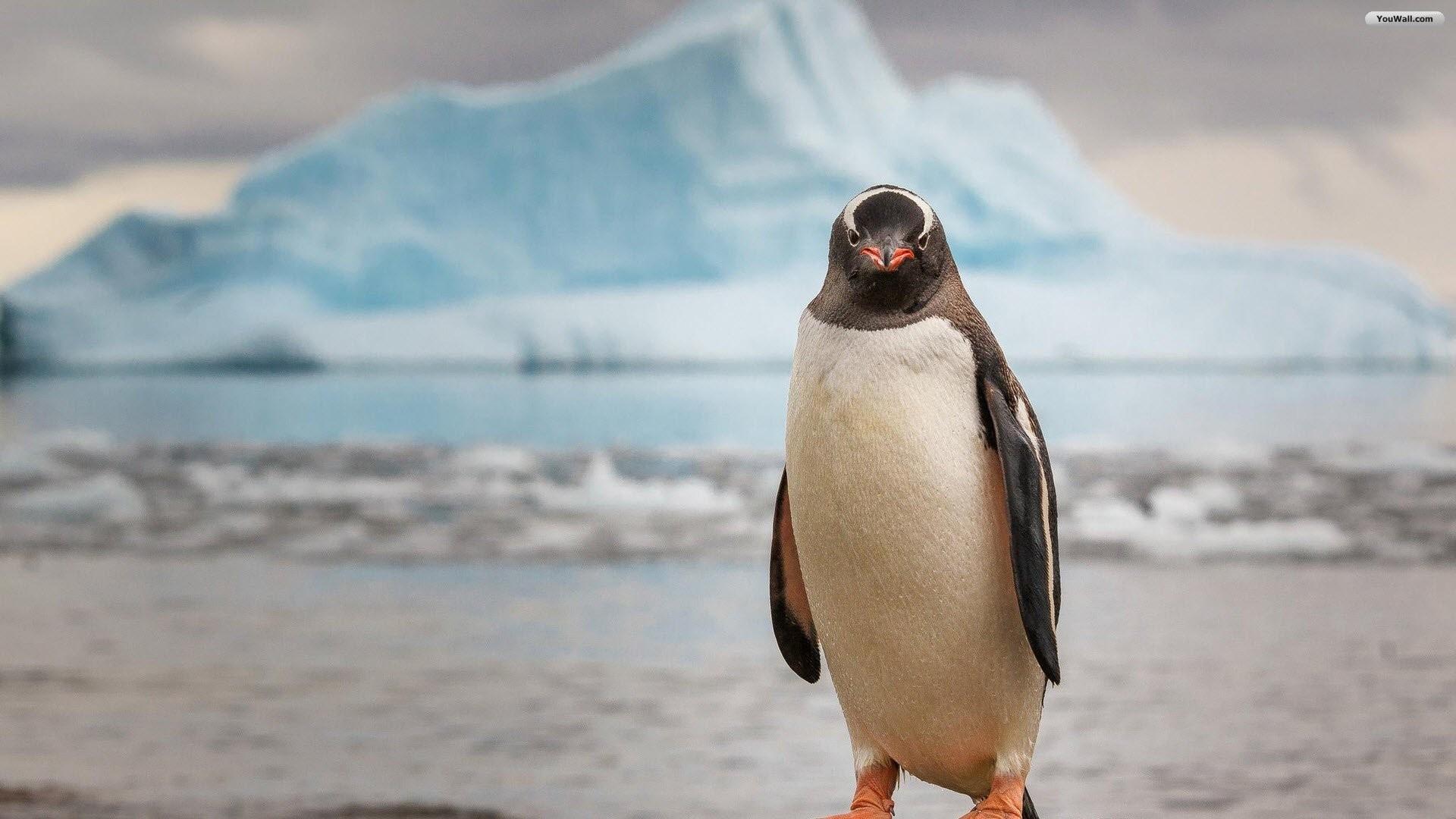Penguin Wallpaper for pc