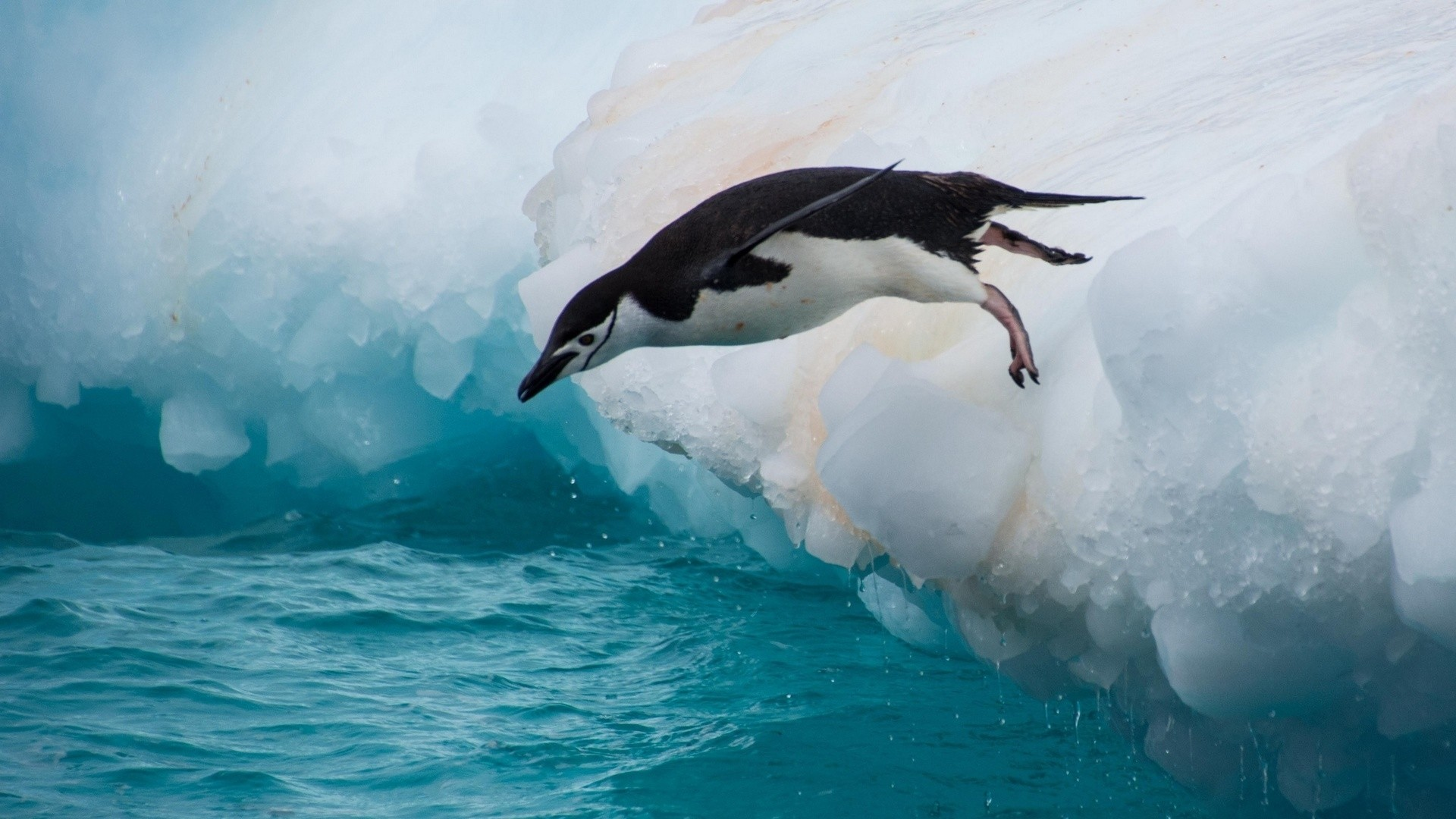 Penguin hd wallpaper download
