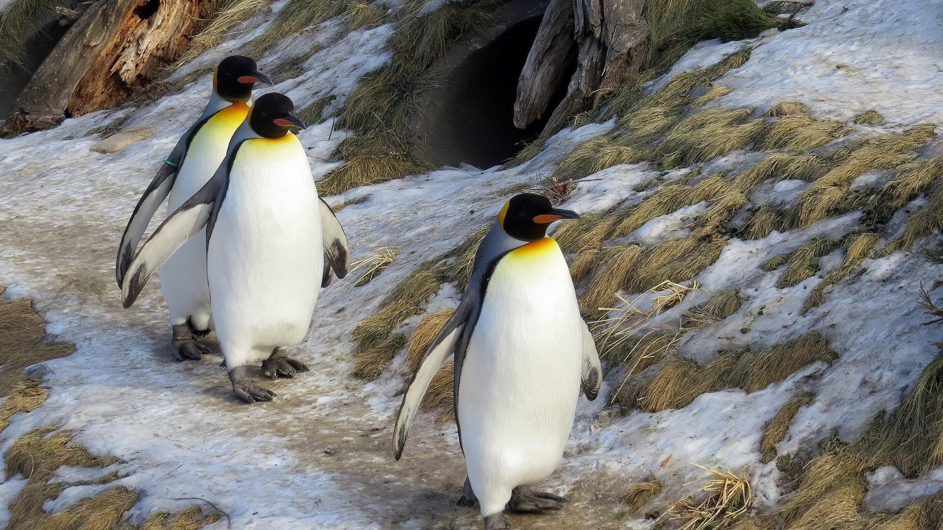 Penguin Wallpaper image hd