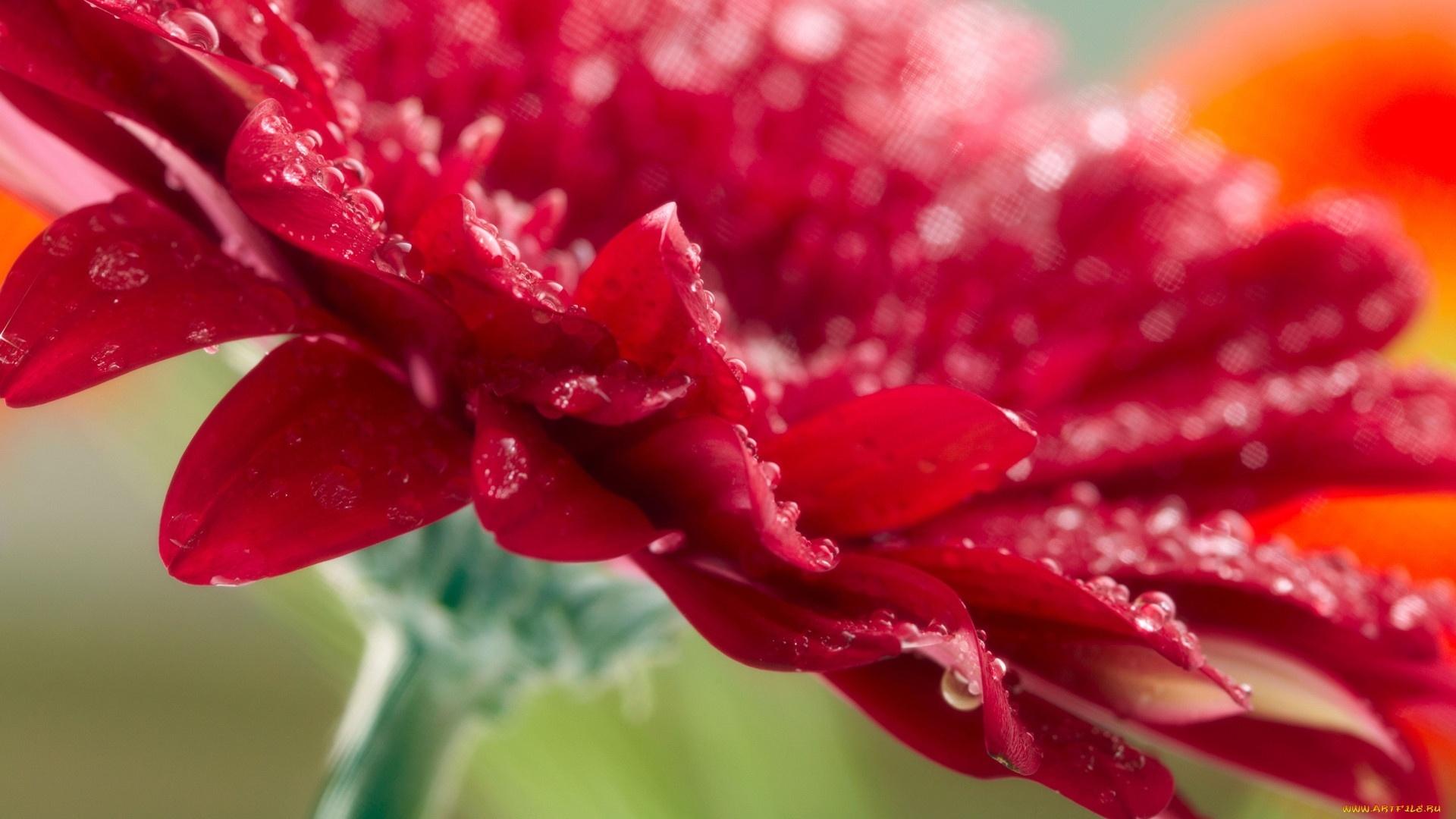 Red Flower PC Wallpaper