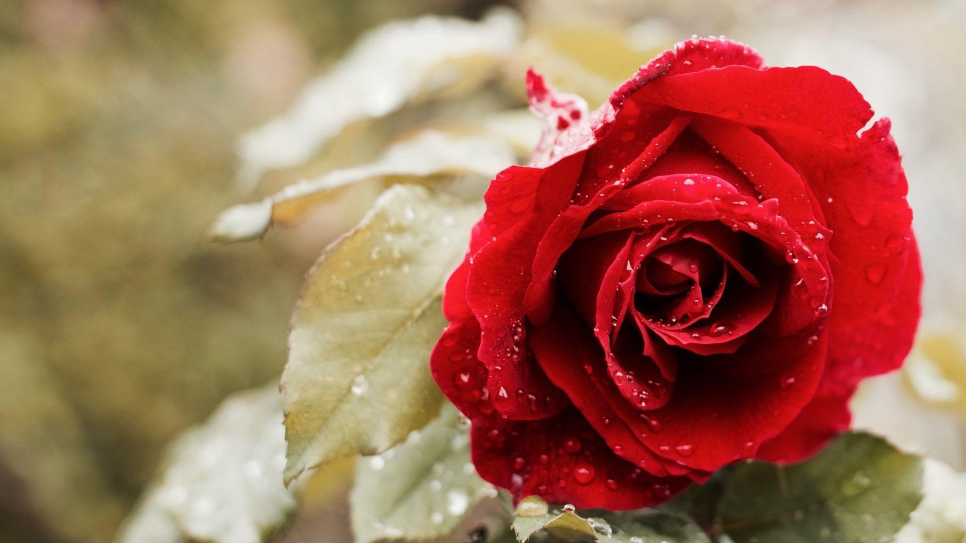 Red Flower wallpaper photo hd
