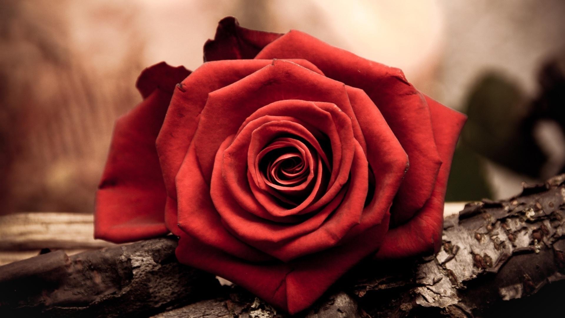 Red Flower PC Wallpaper HD