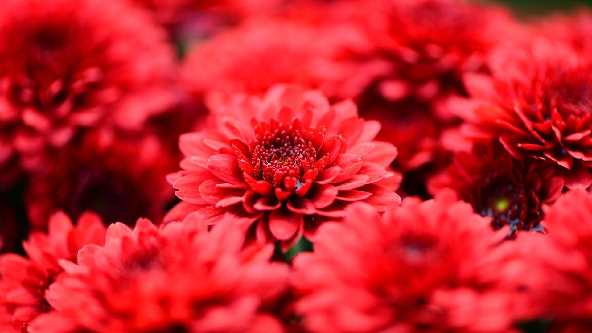 Red Flower Wallpaper for pc