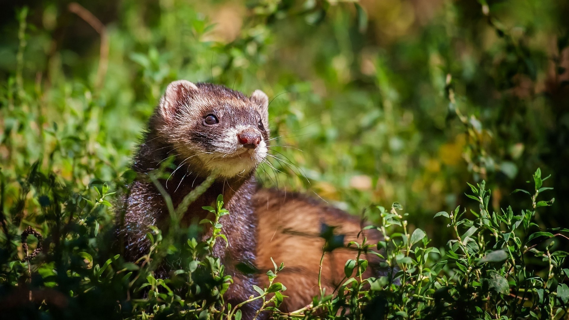 Ferret Wallpaper and Background