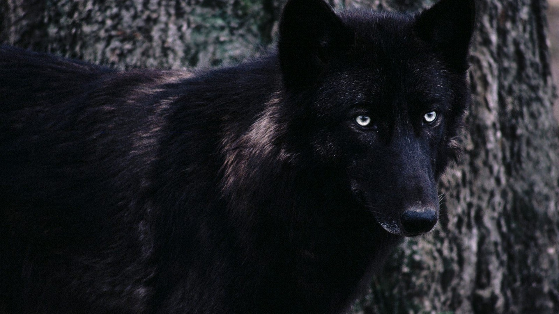 Black Wolf HD Wallpaper