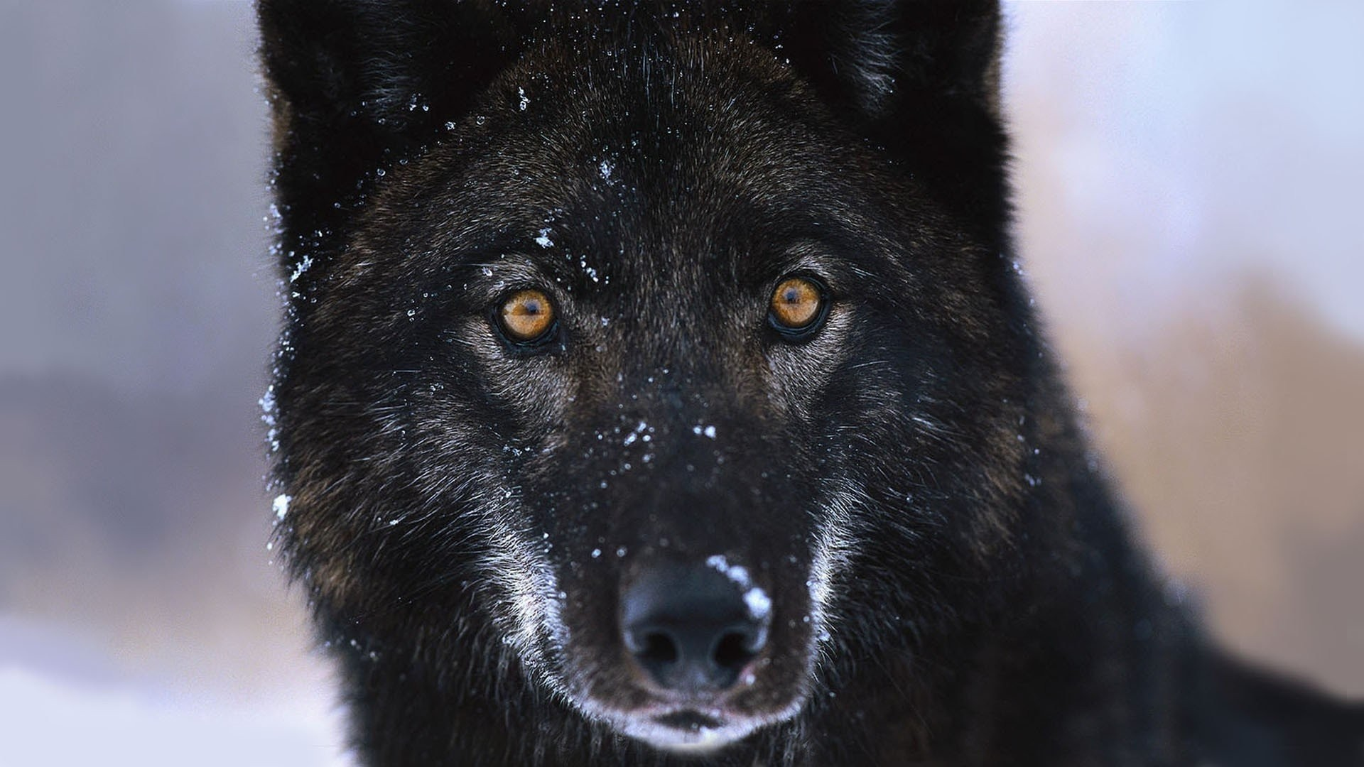 Black Wolf Free Wallpaper and Background