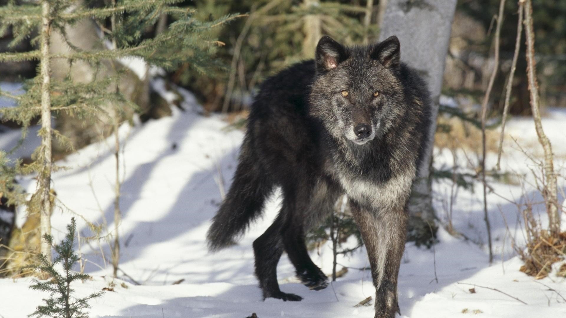 Black Wolf HD Download