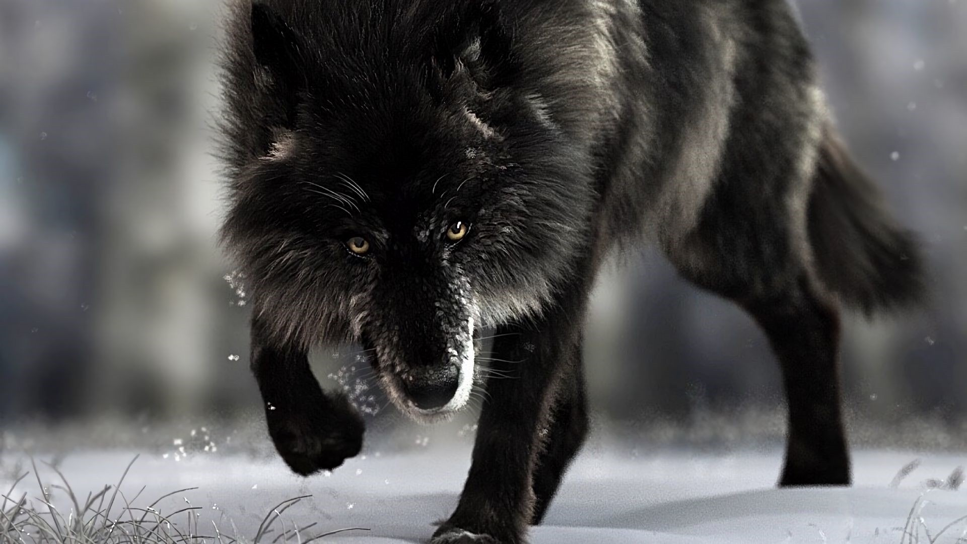 Black Wolf Wallpaper image hd