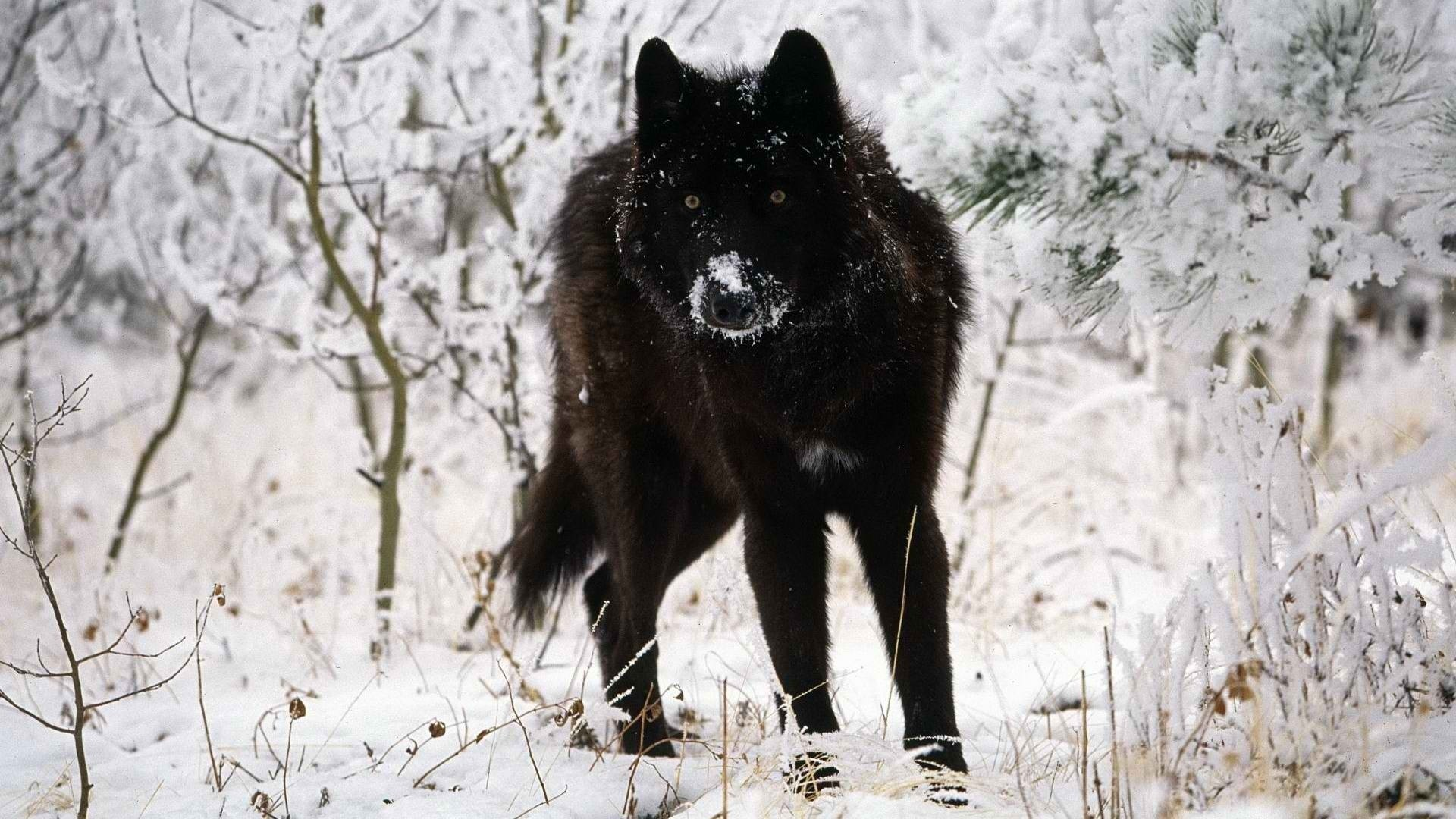Black Wolf computer wallpaper