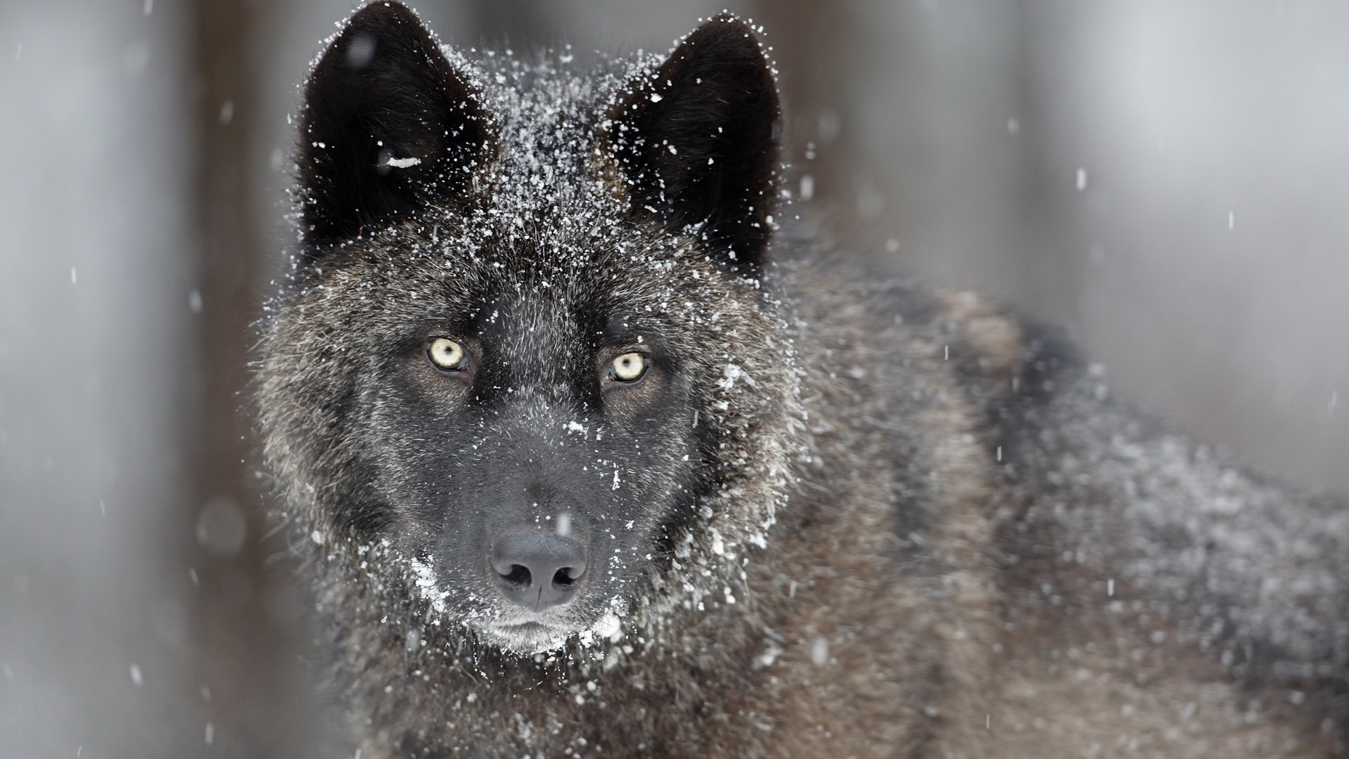 Black Wolf Picture