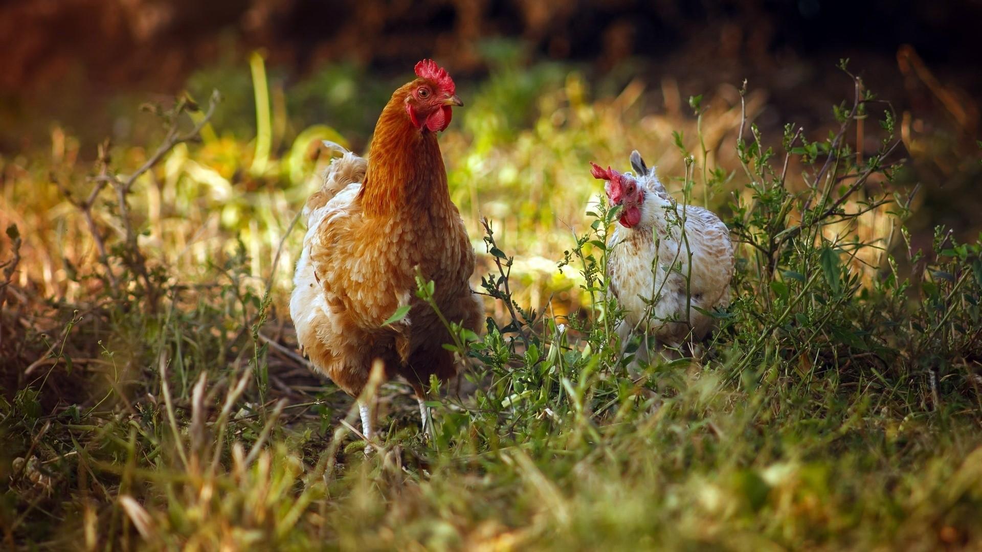 Chicken Wallpaper Picture hd