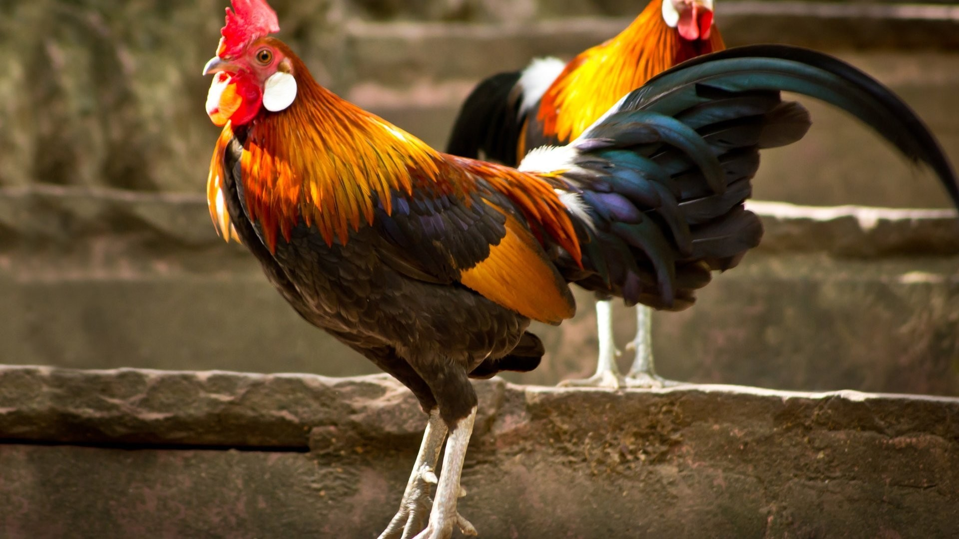 Chicken High Quality