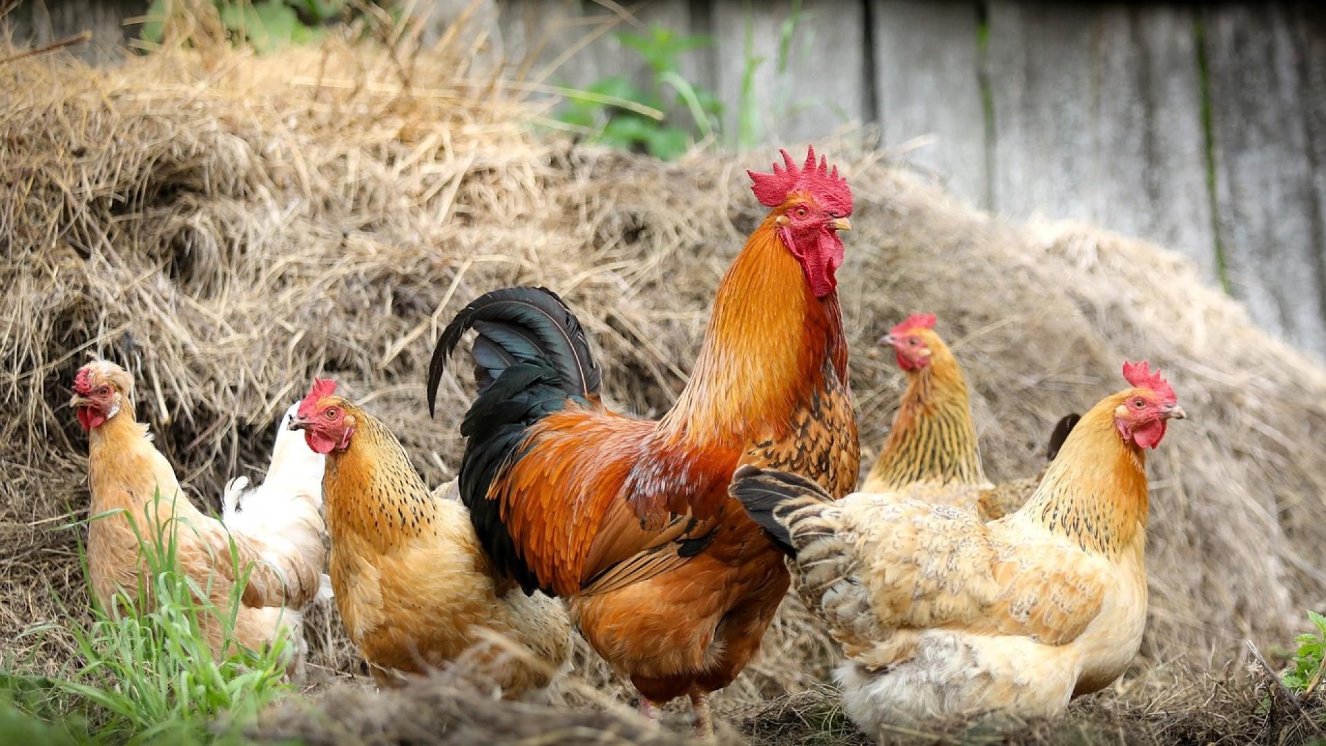 Chicken a wallpaper