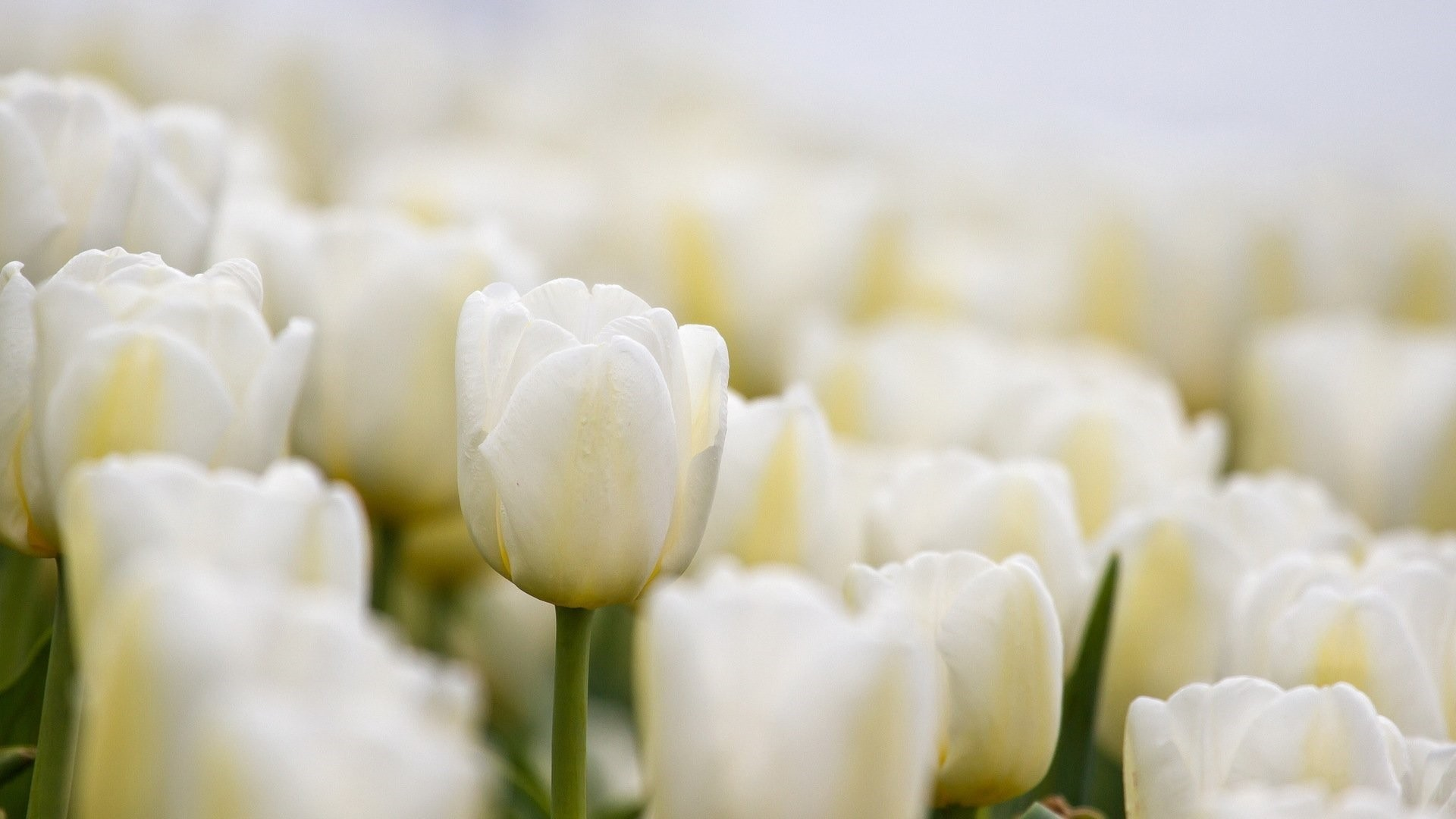 White Flower HD Download