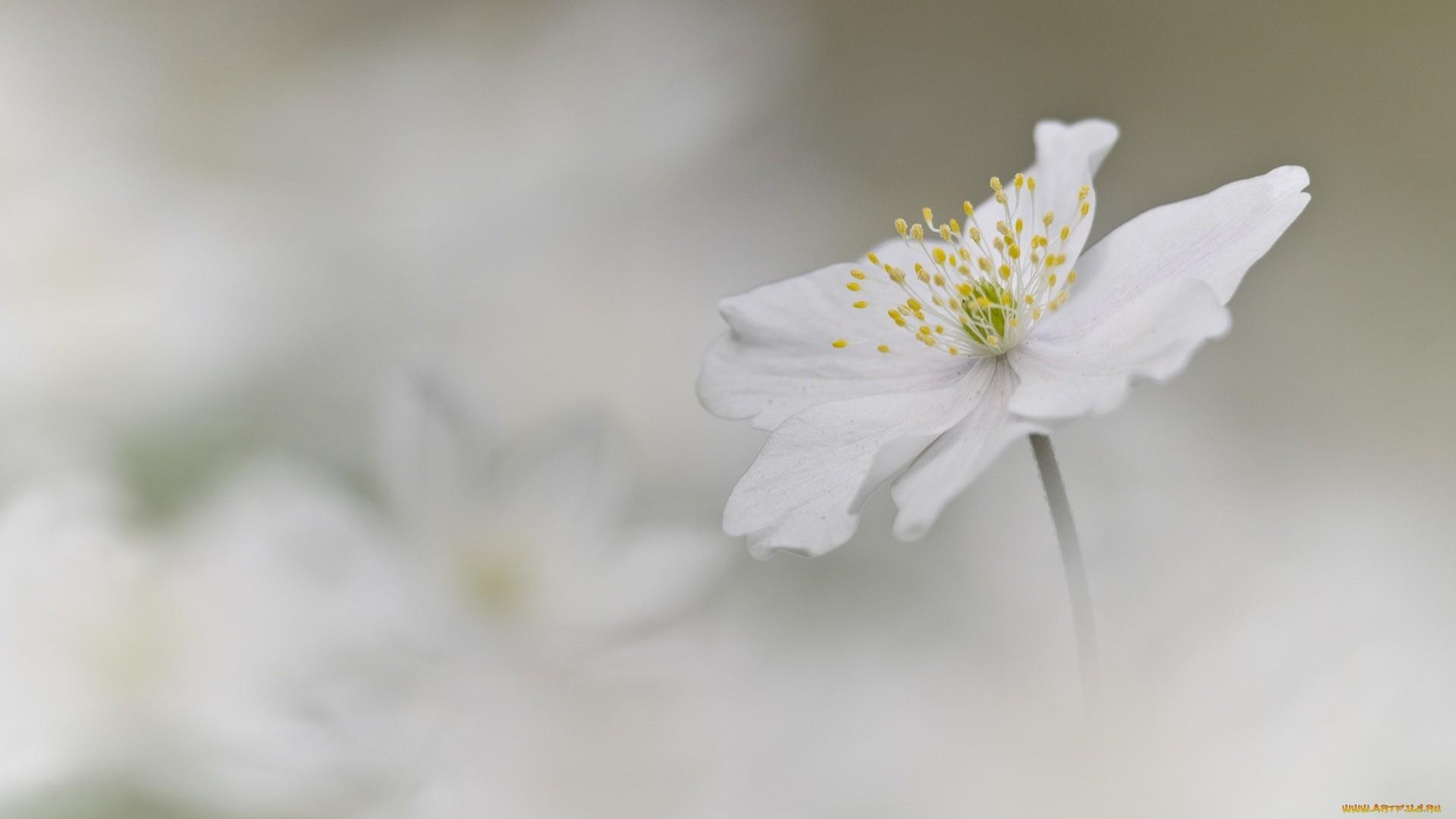 White Flower Download Wallpaper