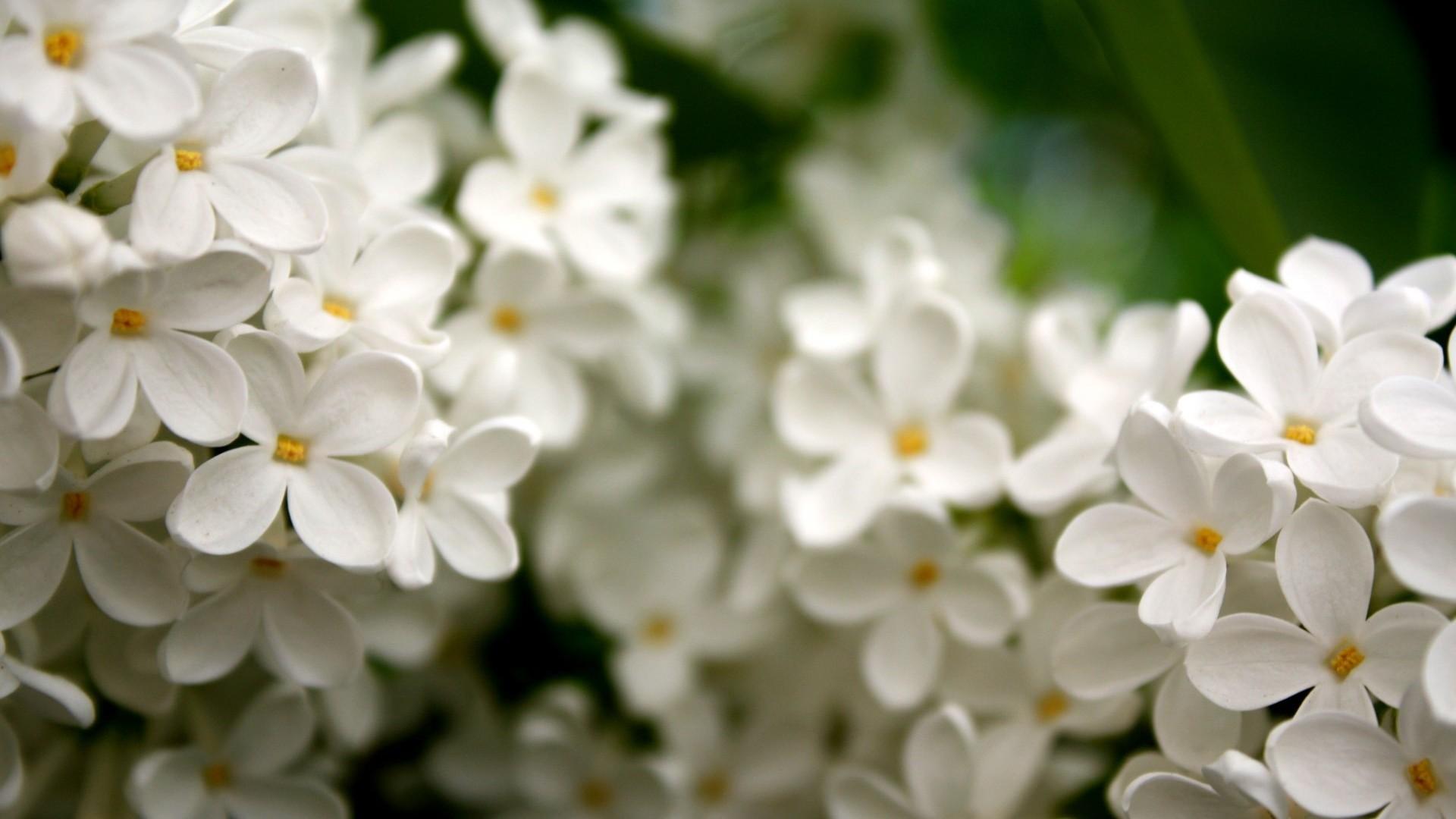 White Flower computer wallpaper