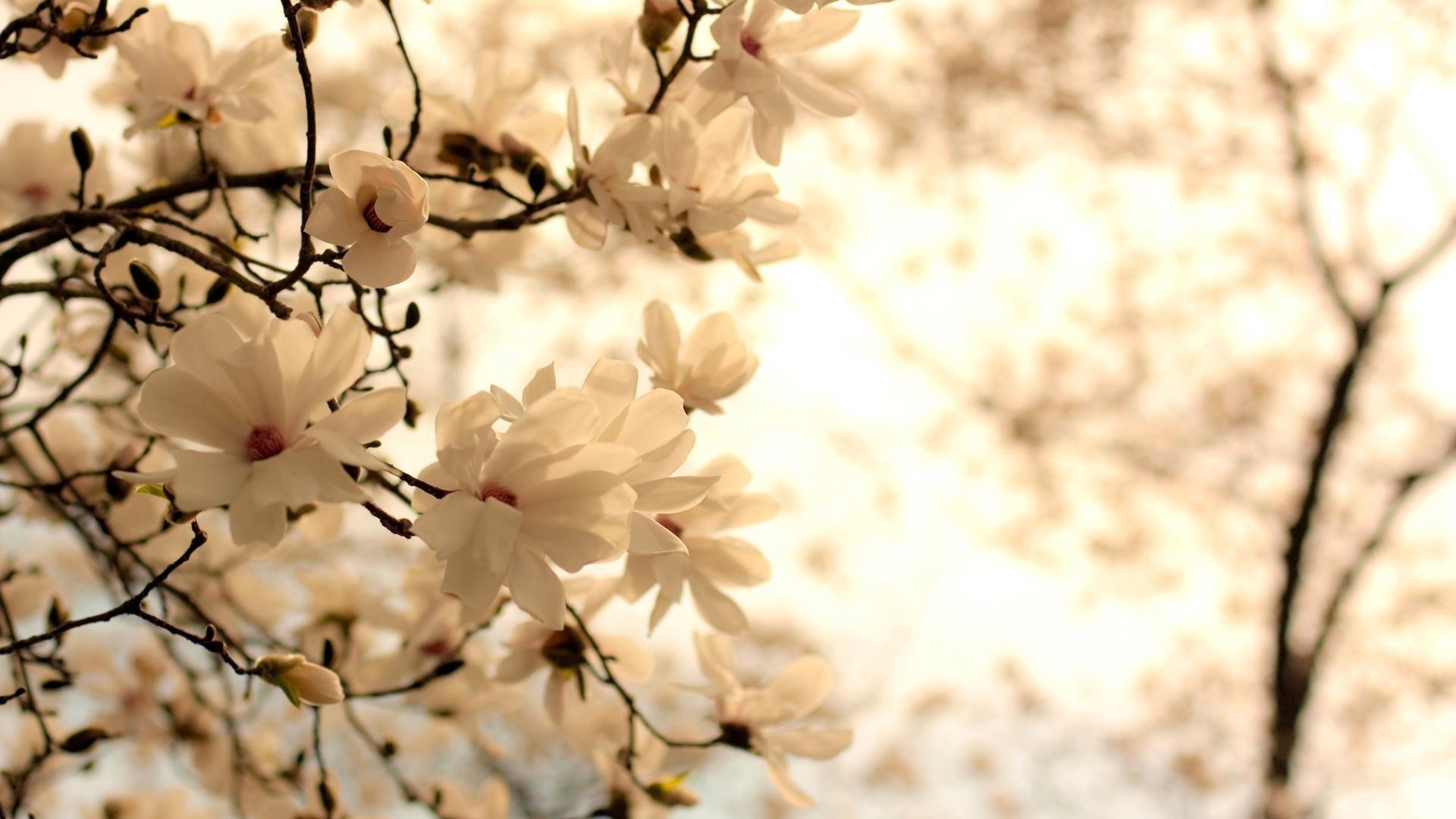 White Flower Desktop wallpaper