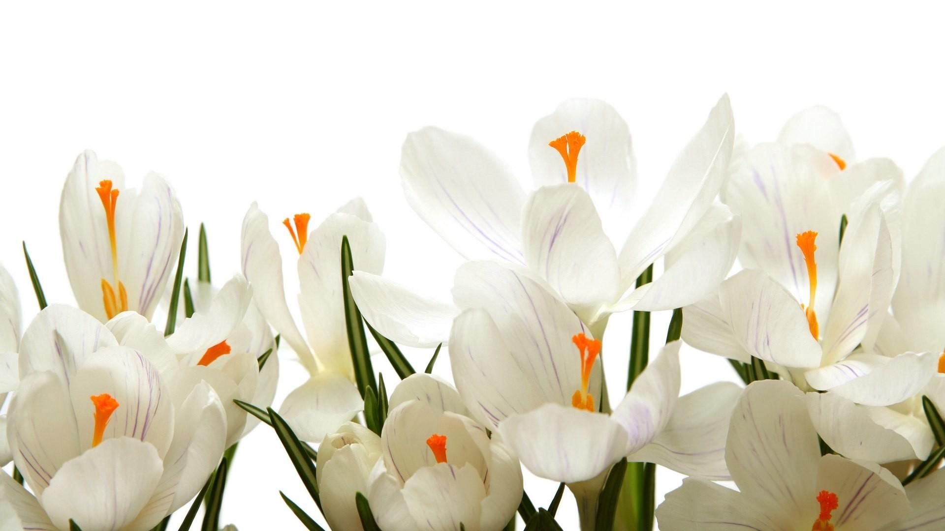 White Flower a wallpaper