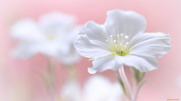 White Flower HD Wallpaper