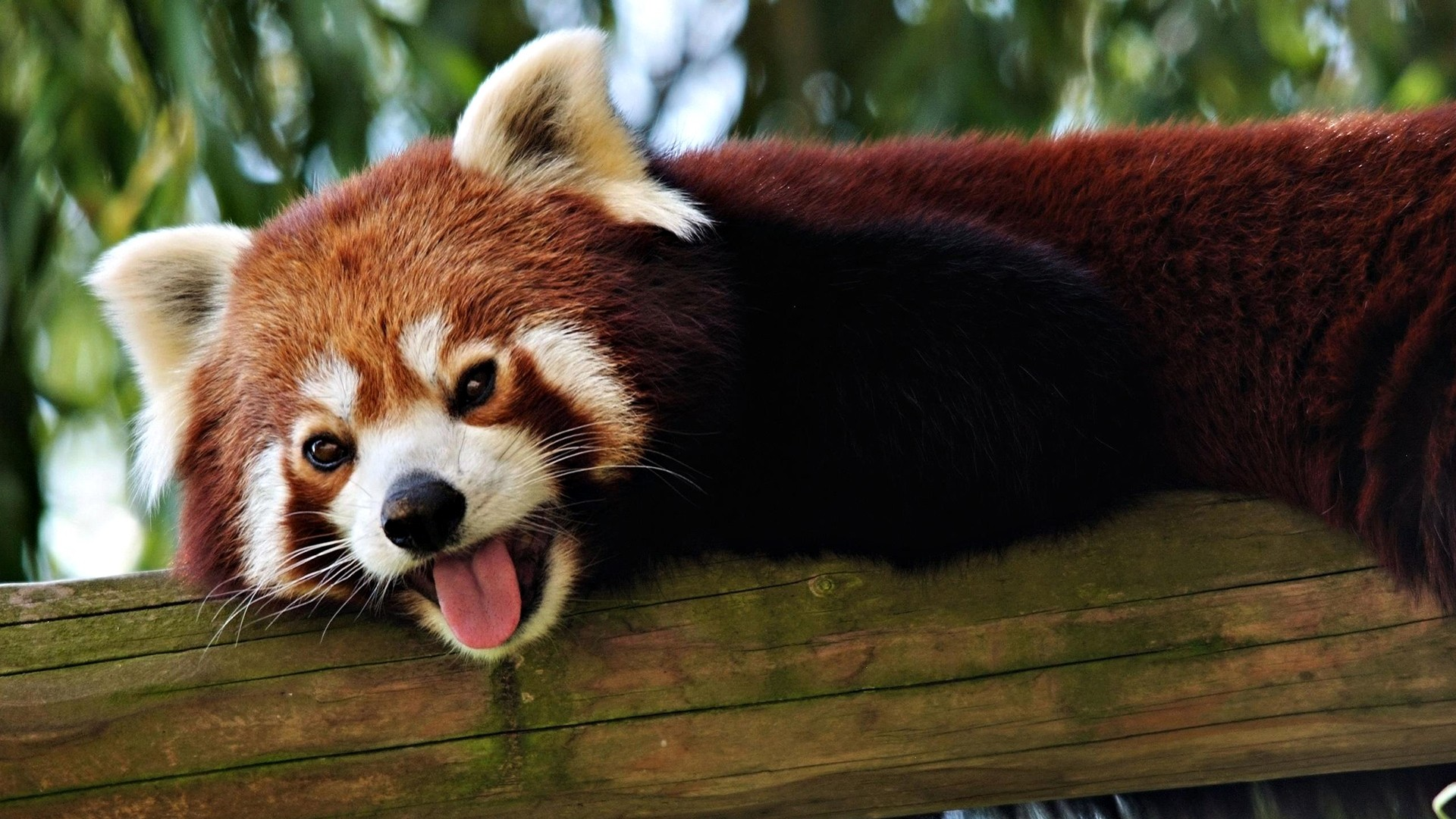 Red Panda hd wallpaper download
