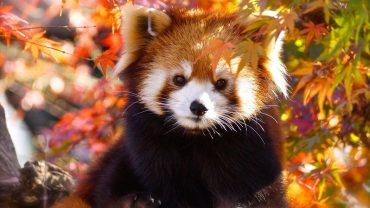 Red Panda Pic