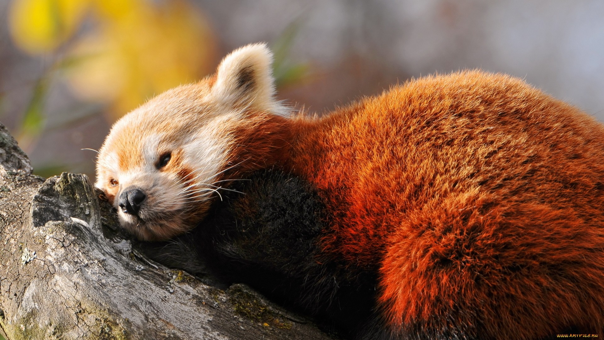 Red Panda Picture