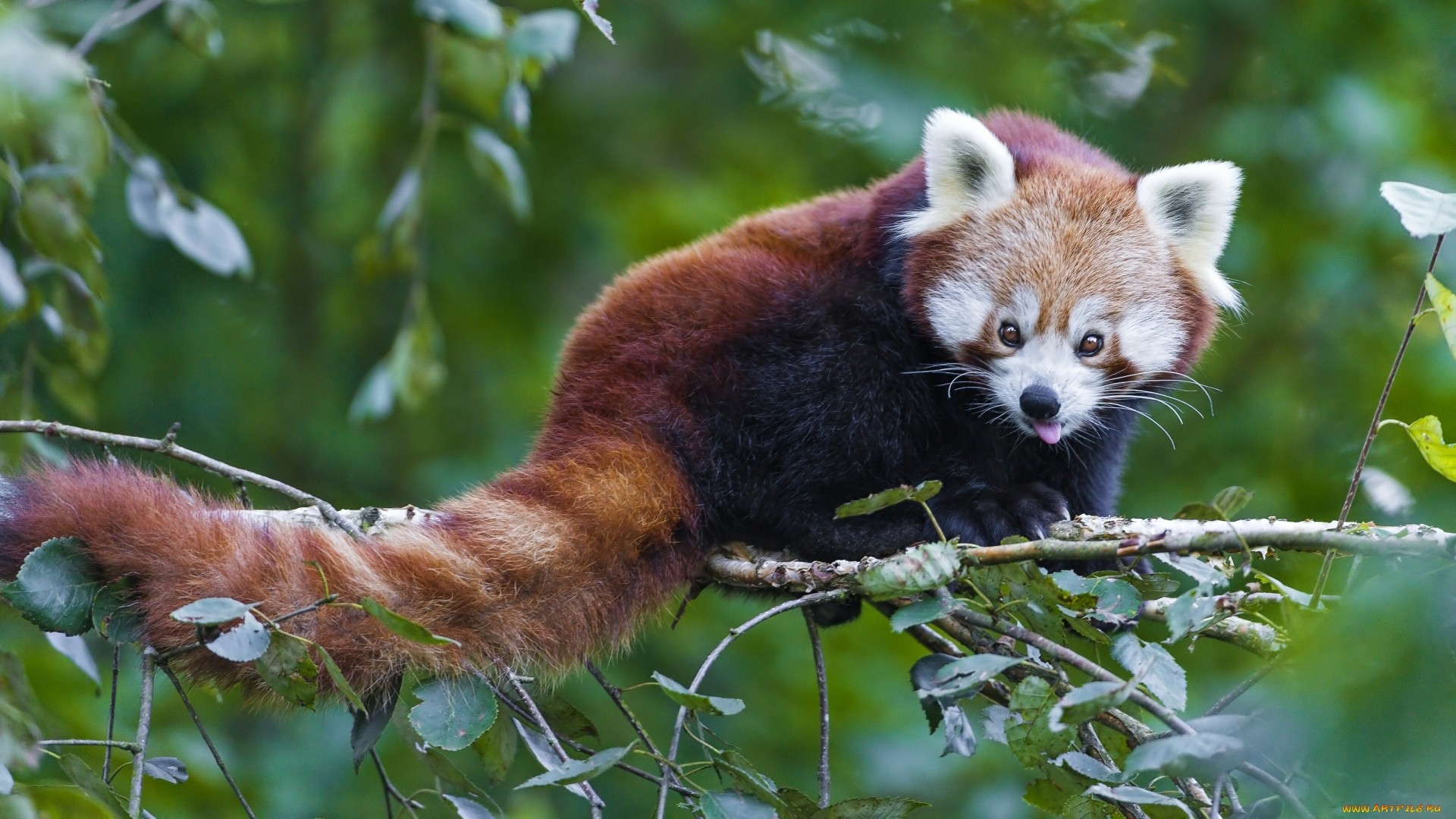 Red Panda hd desktop wallpaper