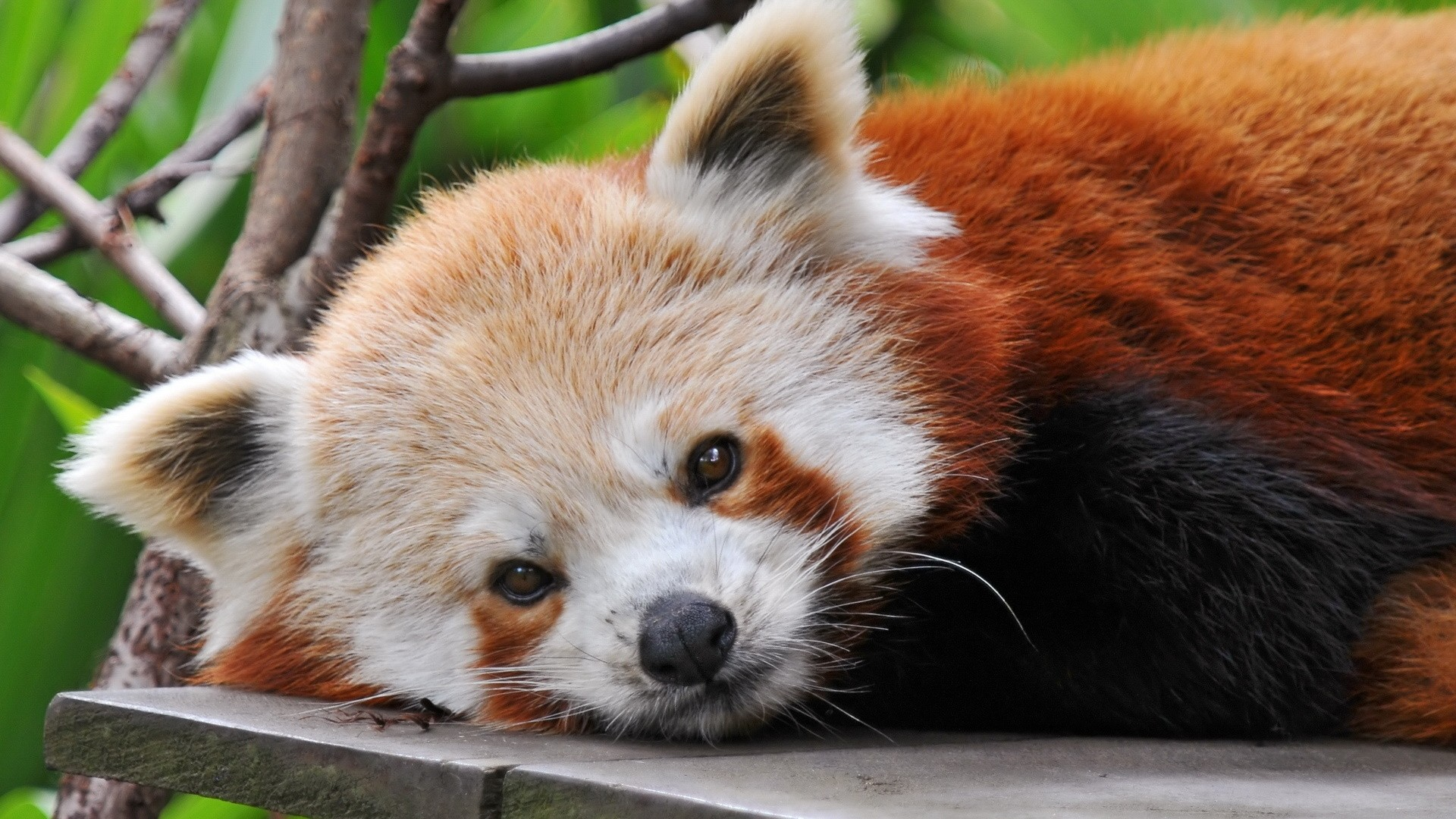 Red Panda PC Wallpaper HD