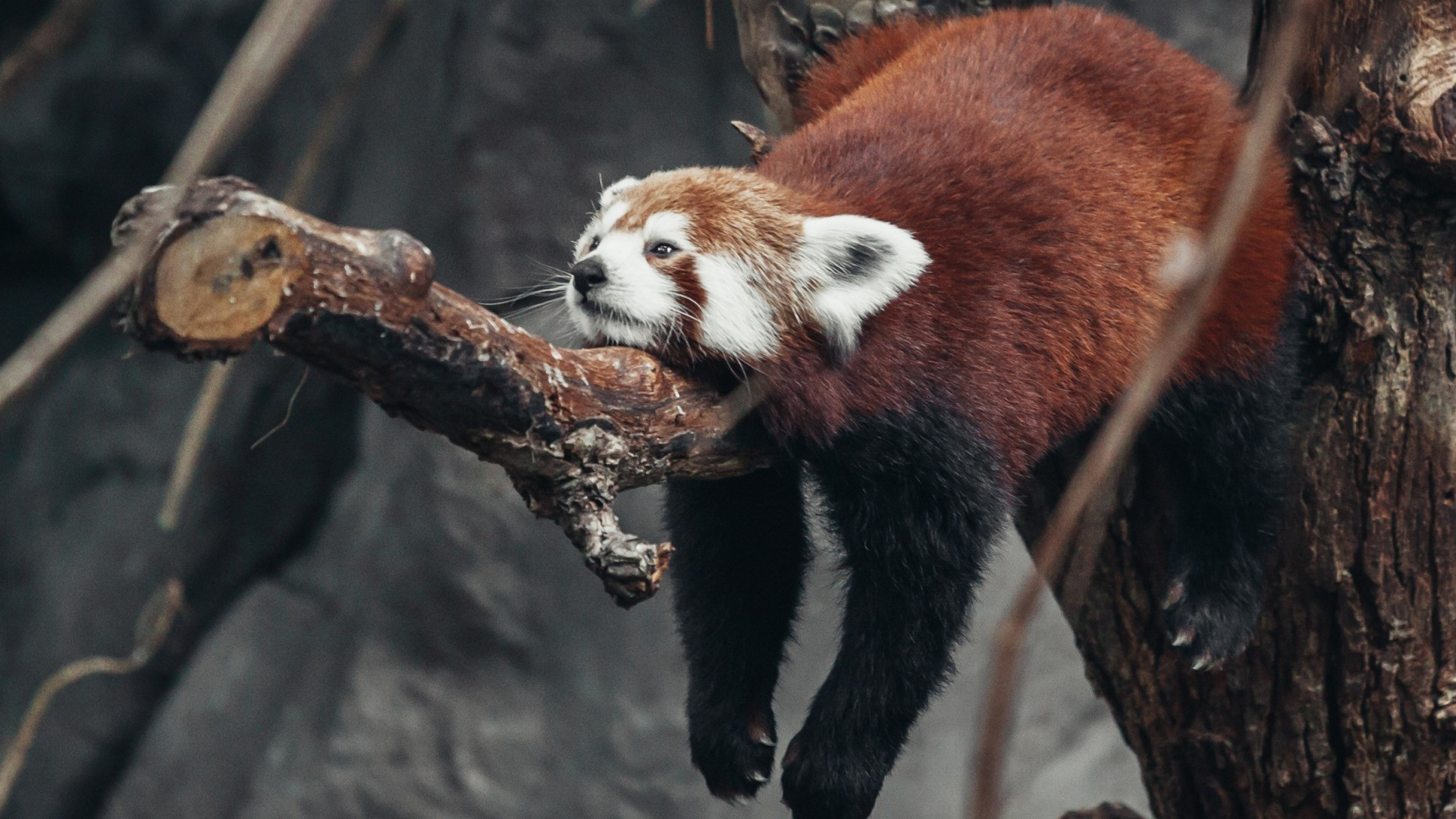 Red Panda Desktop wallpaper